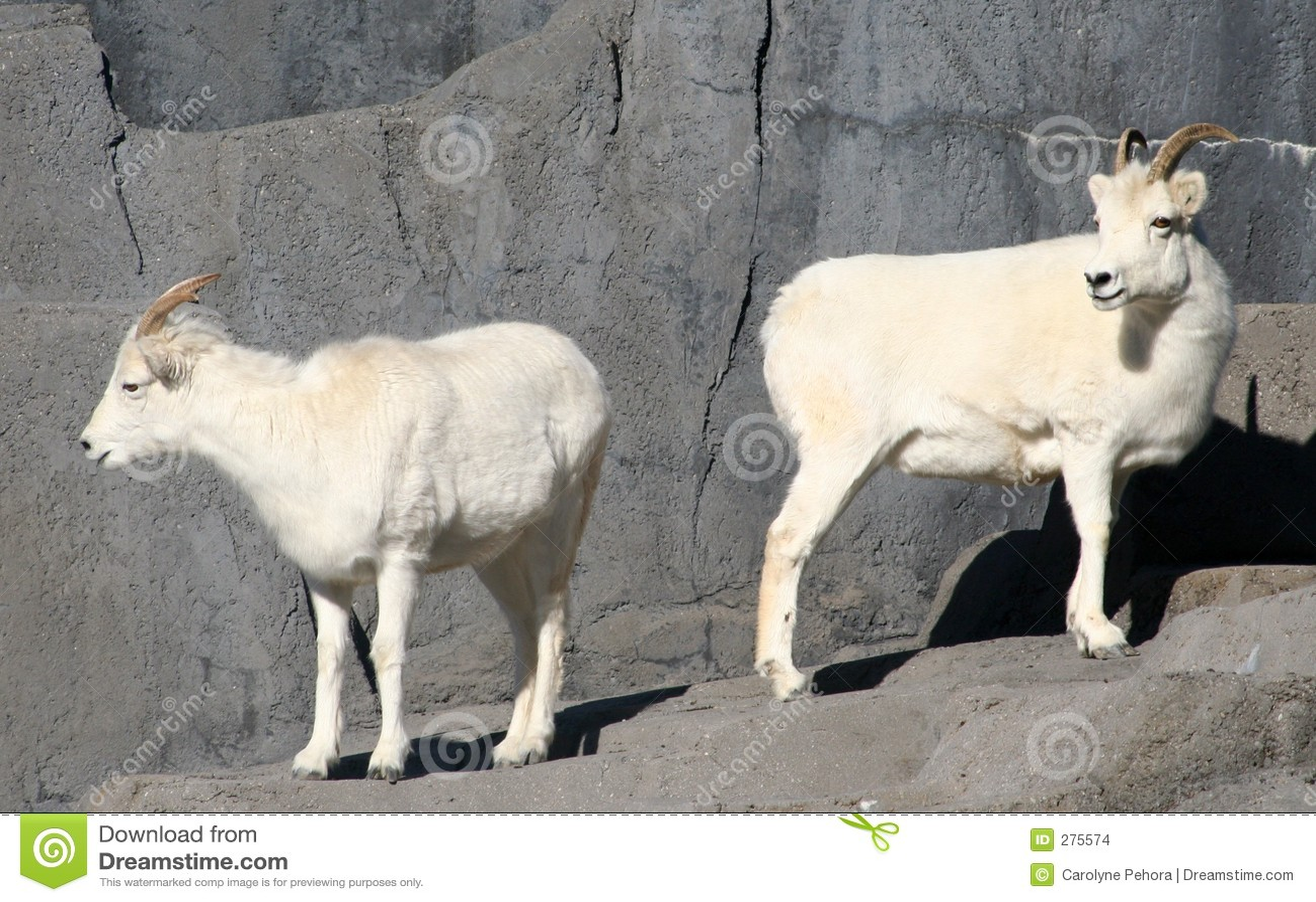 Les moutons de dall photos stock inscription gratuite - Photos de moutons gratuites ...