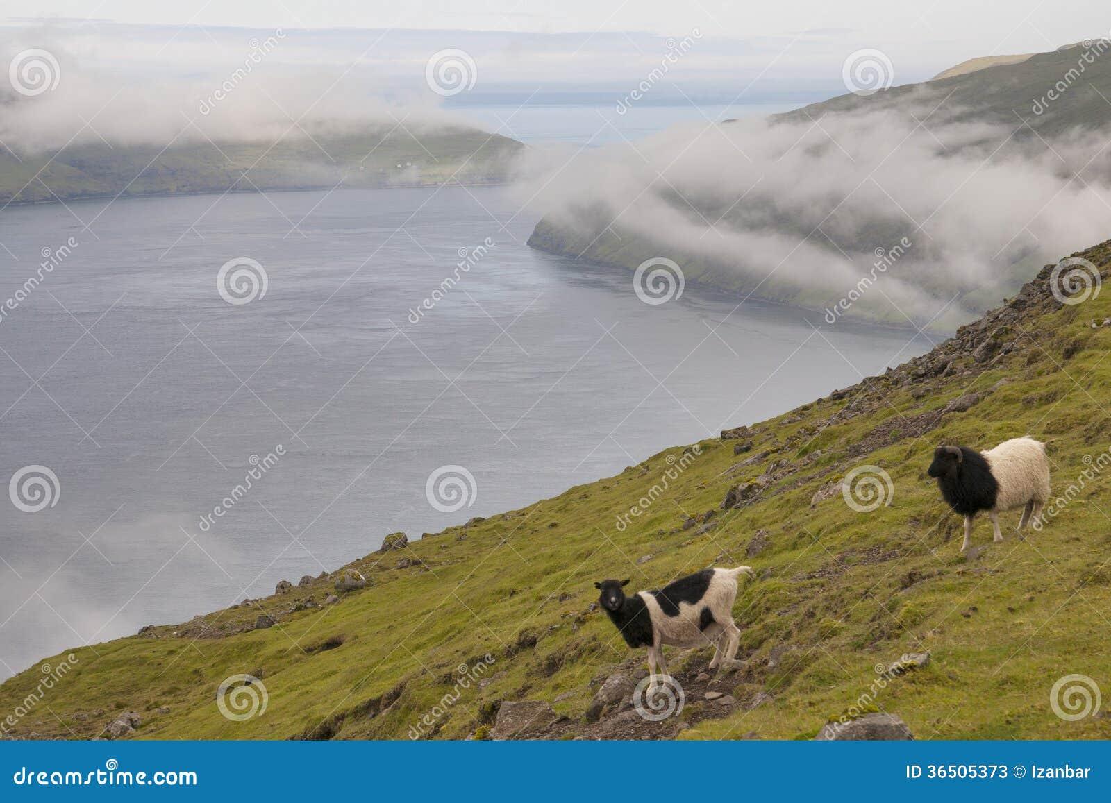 Les moutons enfoncent dans le paysage lointain d île d oer de faer