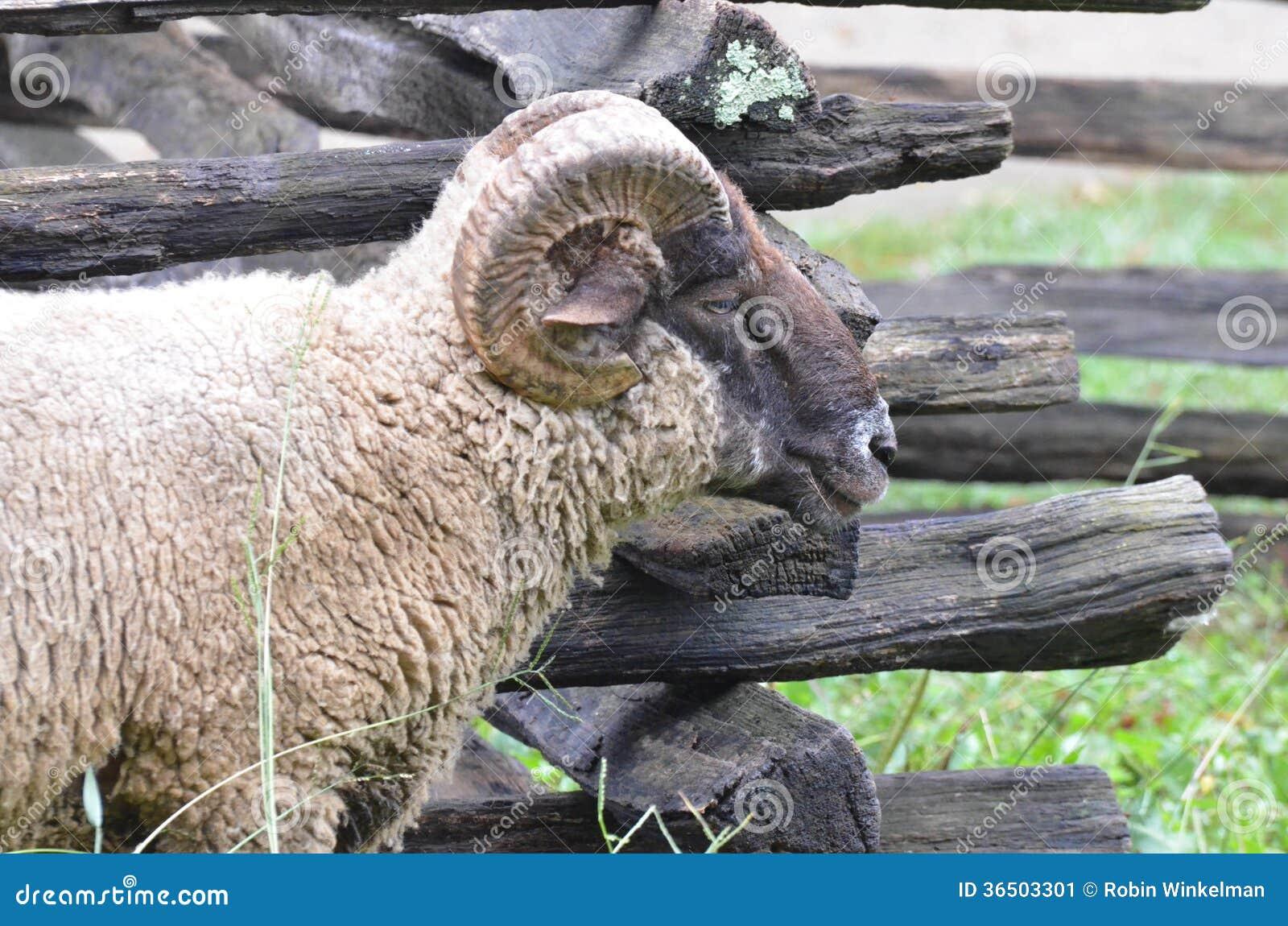 Les moutons s approchent de la barrière 2