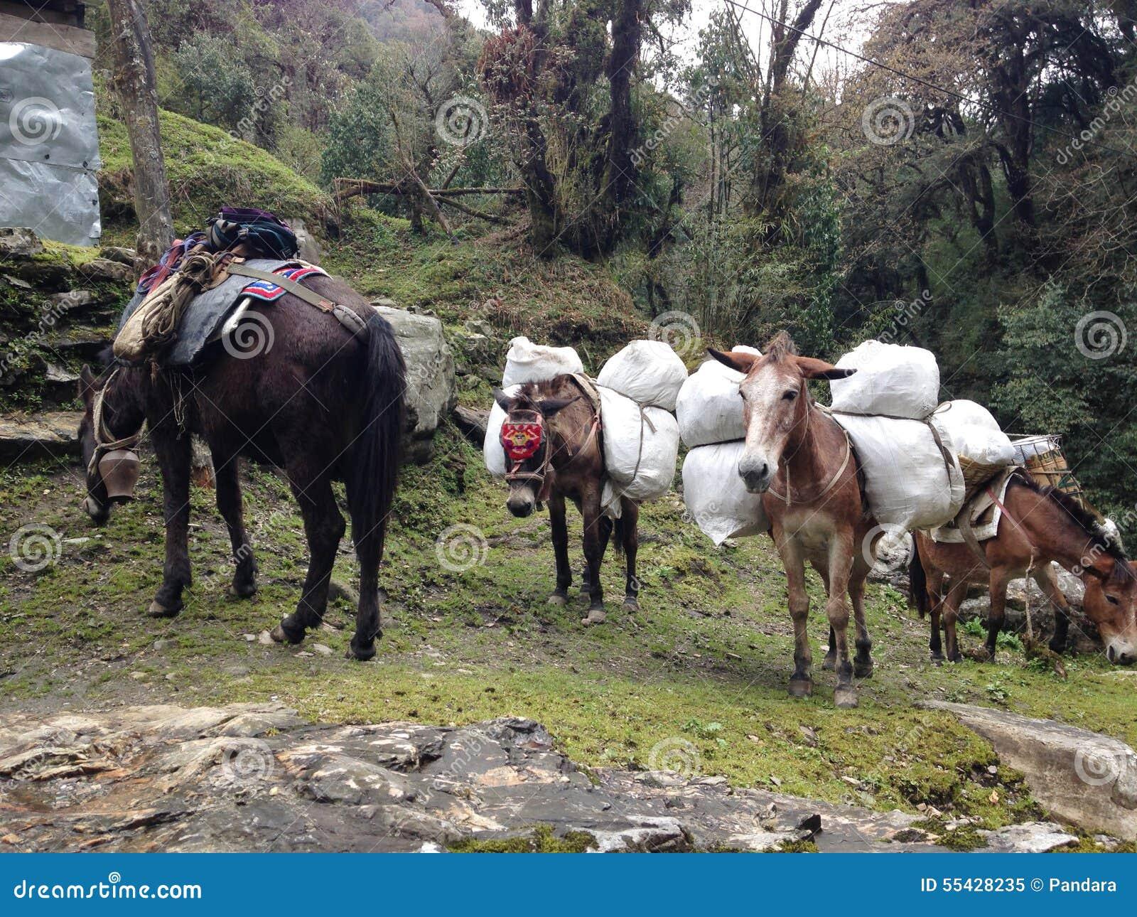 Les mules portent des substances pour le trekking au n pal for Se portent pour saluer
