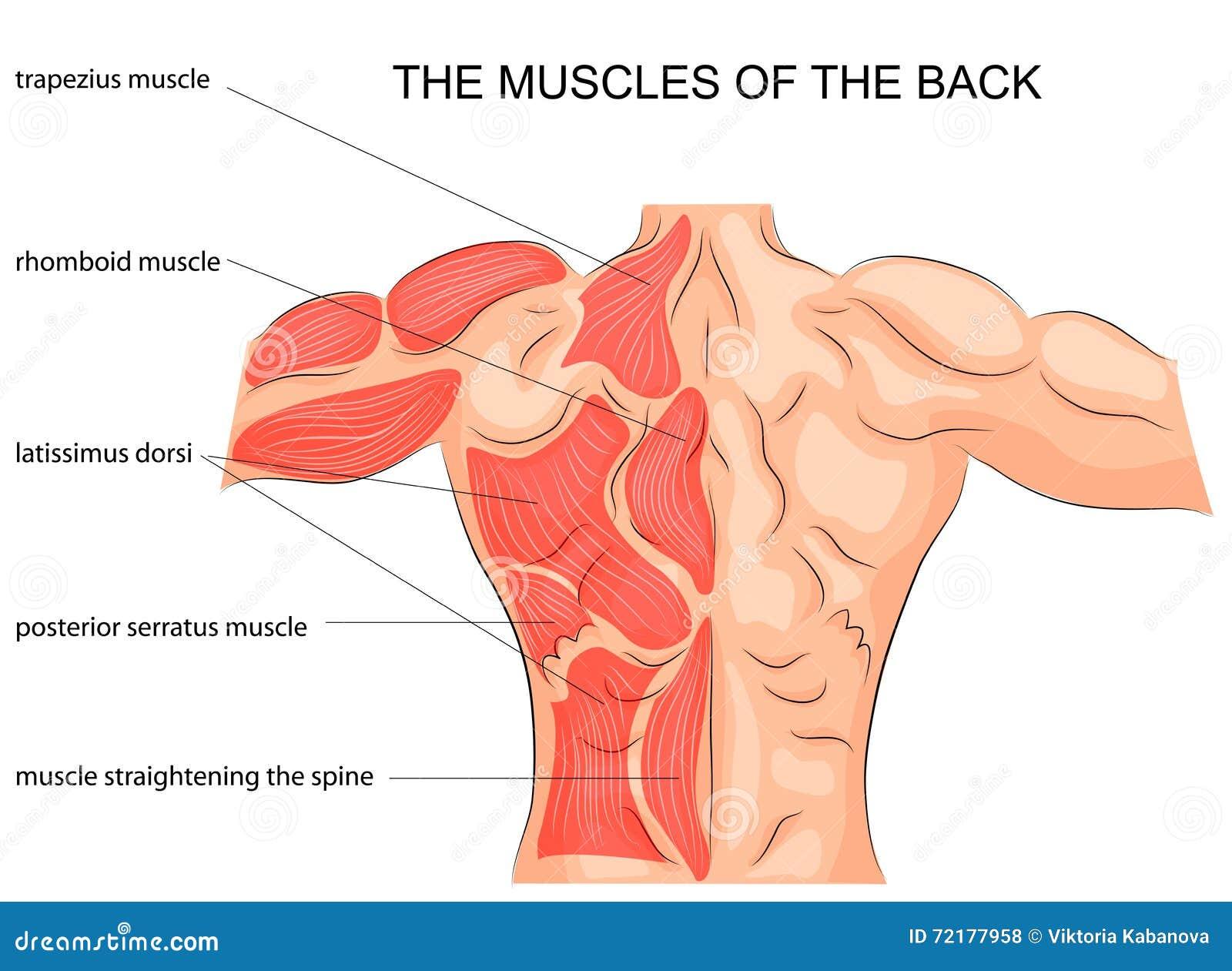 Fait mal de deux côtés et au dessous du ventre et les reins