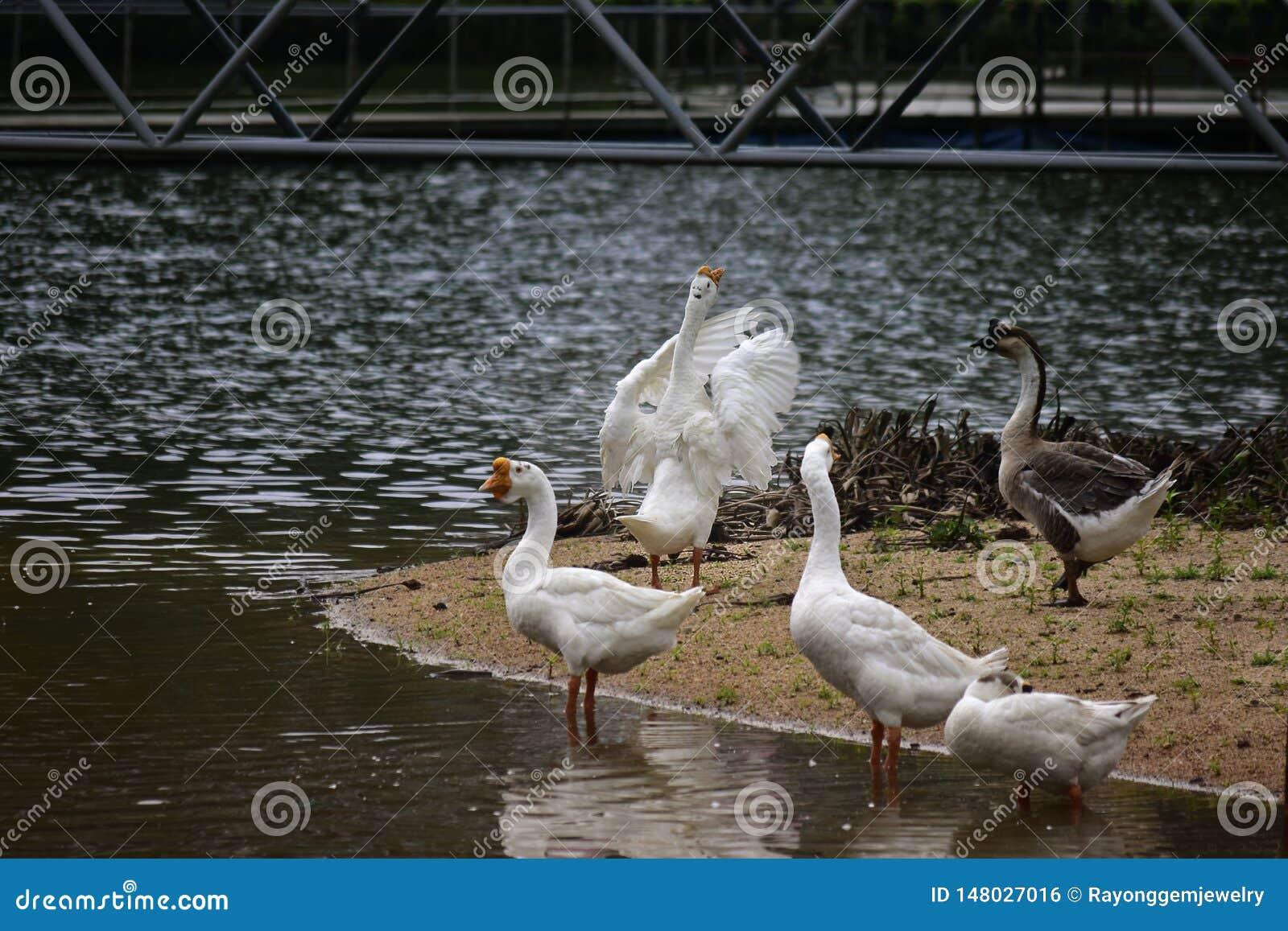 Les oies mangent dans la piscine Regarde beau, naturel