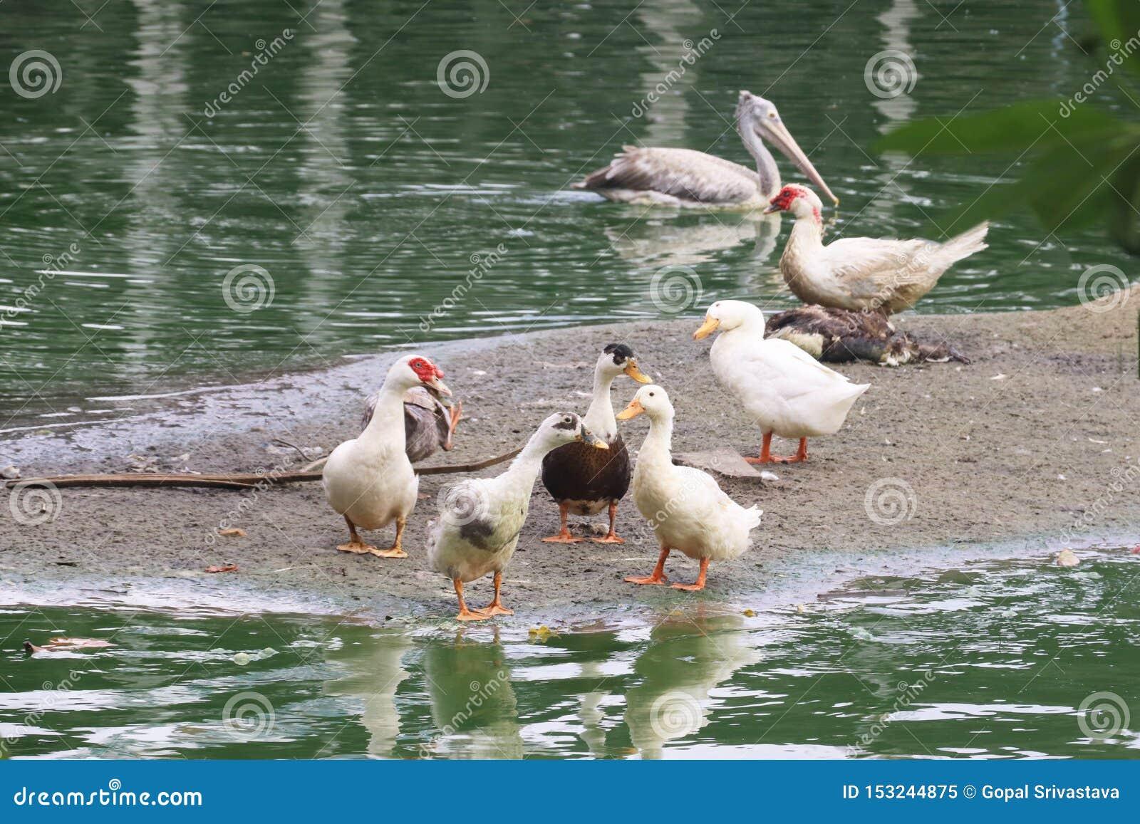 Les oiseaux d eau appréciant dans un étang