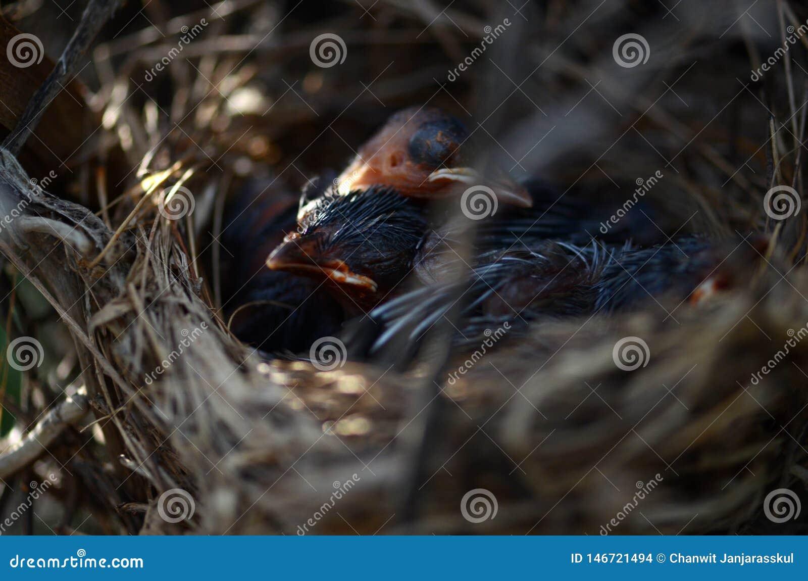 Les oiseaux de bébé rouge-barbus de bulbul dormant dans le nid