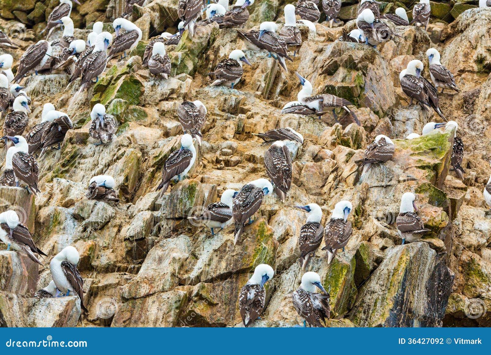 Les oiseaux marins aquatiques au p rou am rique du sud for Les oiseaux du sud de la france