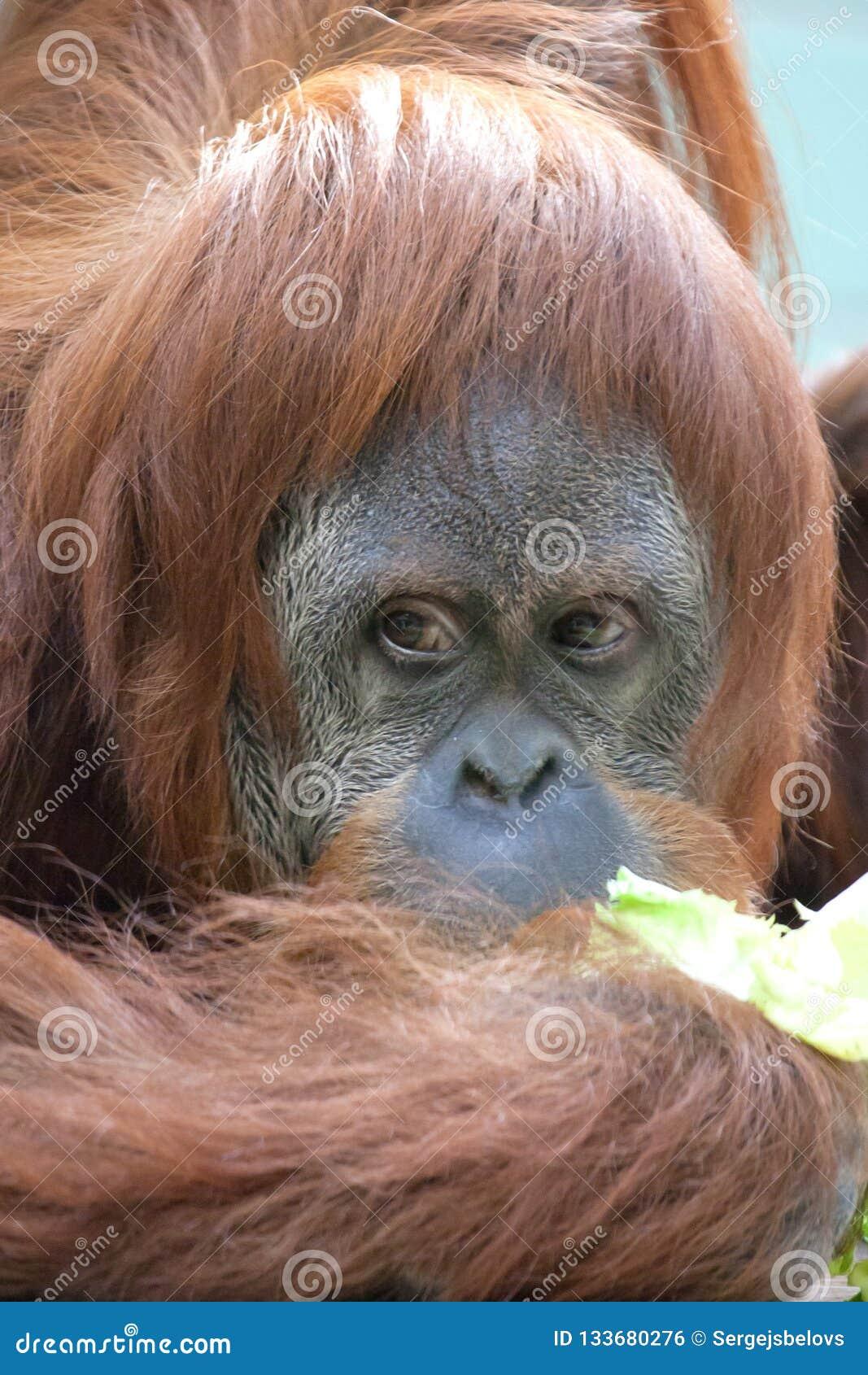 Les orangs-outans de sourire de portrait se reposent pour le photographe prennent une photo