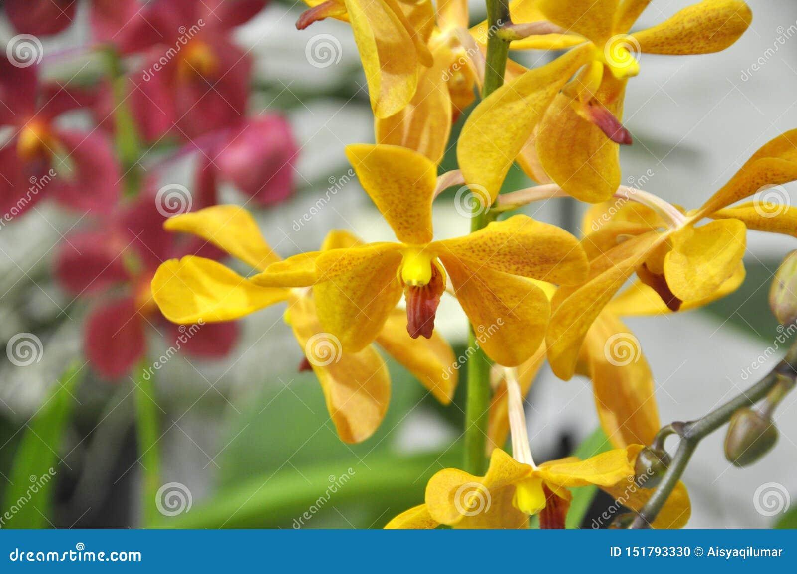Les orchidées exotiques fleurissent à l intérieur de la crèche d intérieur
