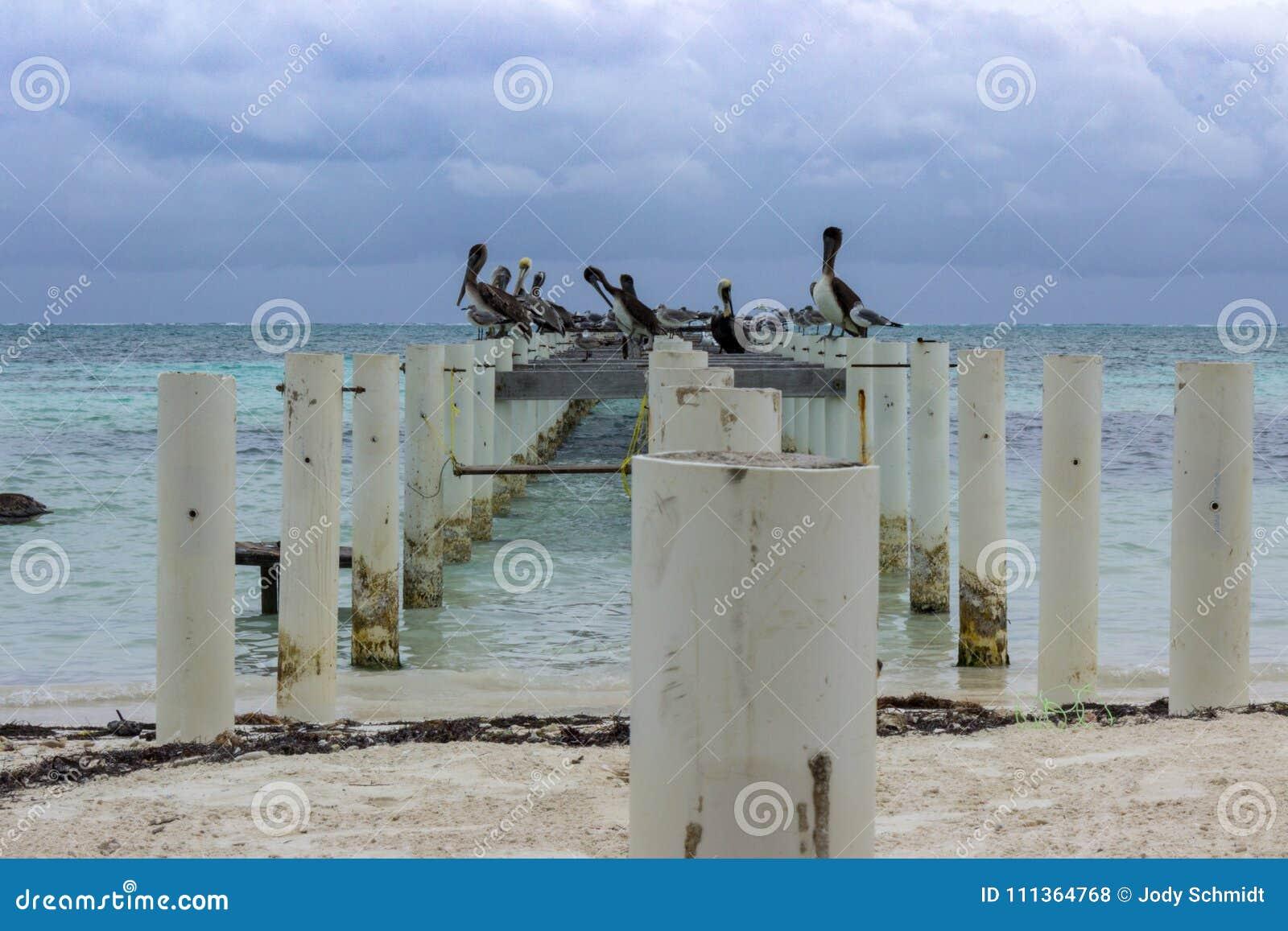 Les pélicans et les mouettes rayent un pilier abandonné sur le rivage est du matoir de Caye