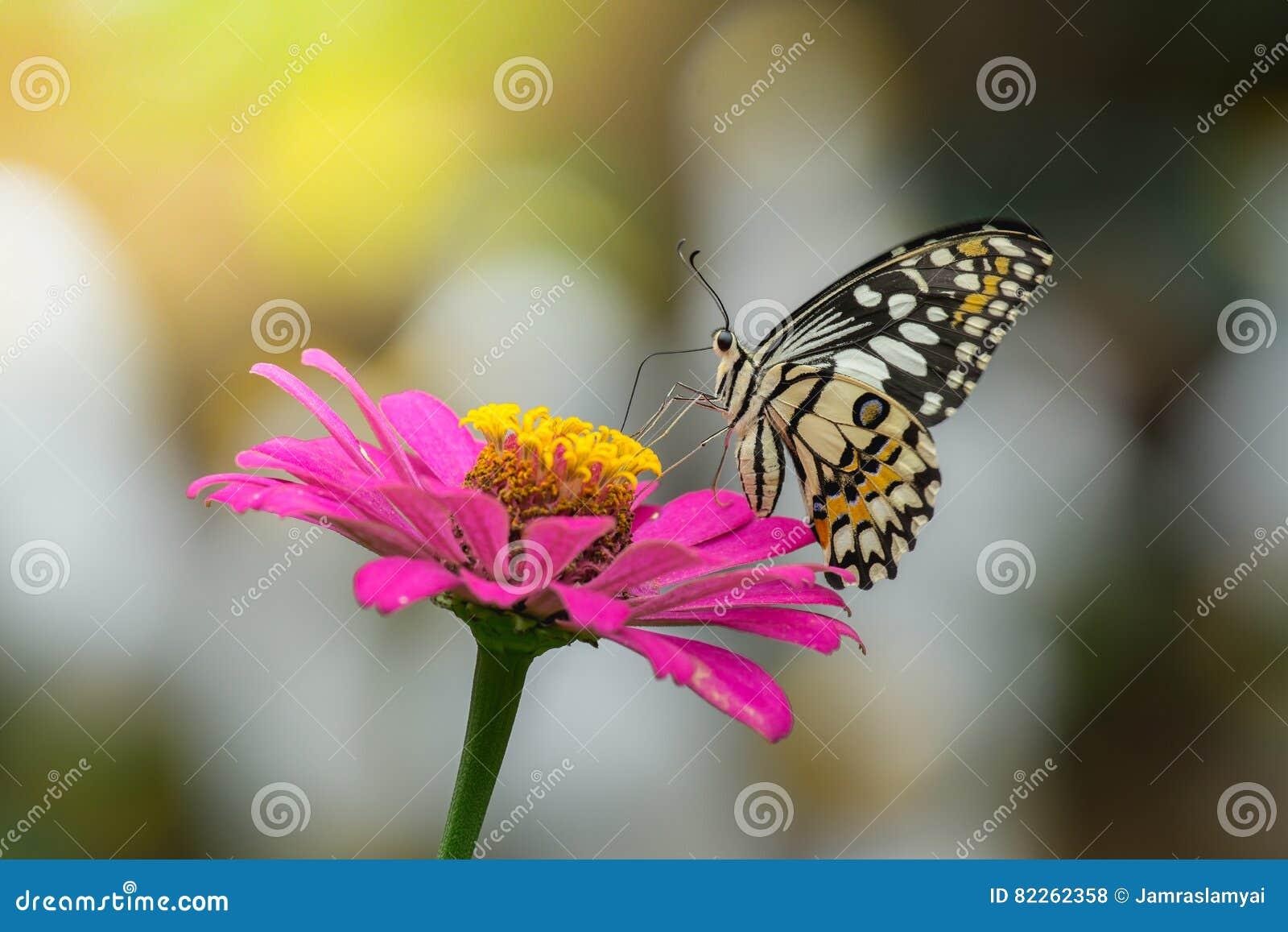 d6abc94302721 Les papillons volent pour trouver le nectar des fleurs roses de Zinnia,