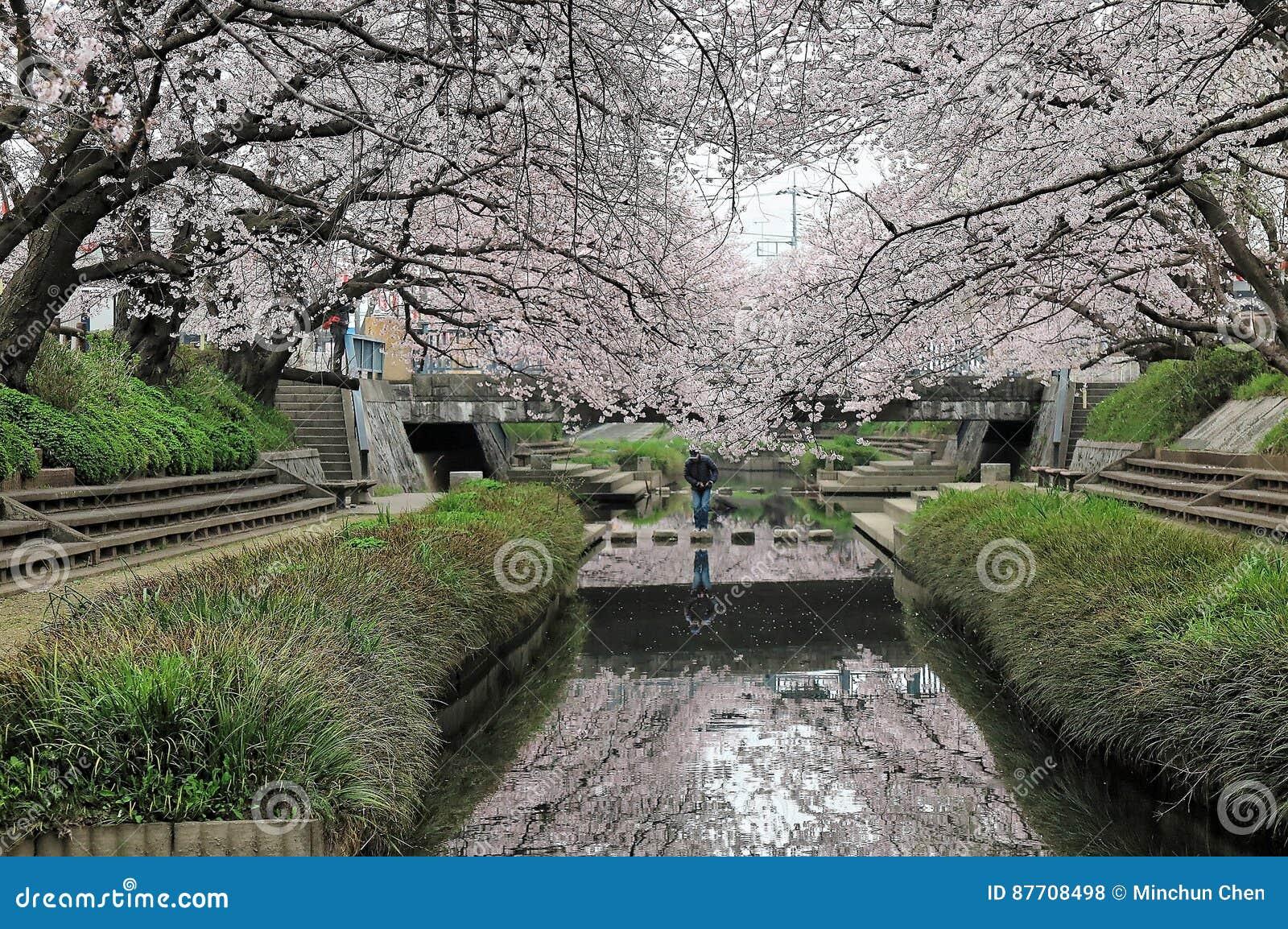Les passages couverts romantiques sous l arcade du cerisier rose fleurit