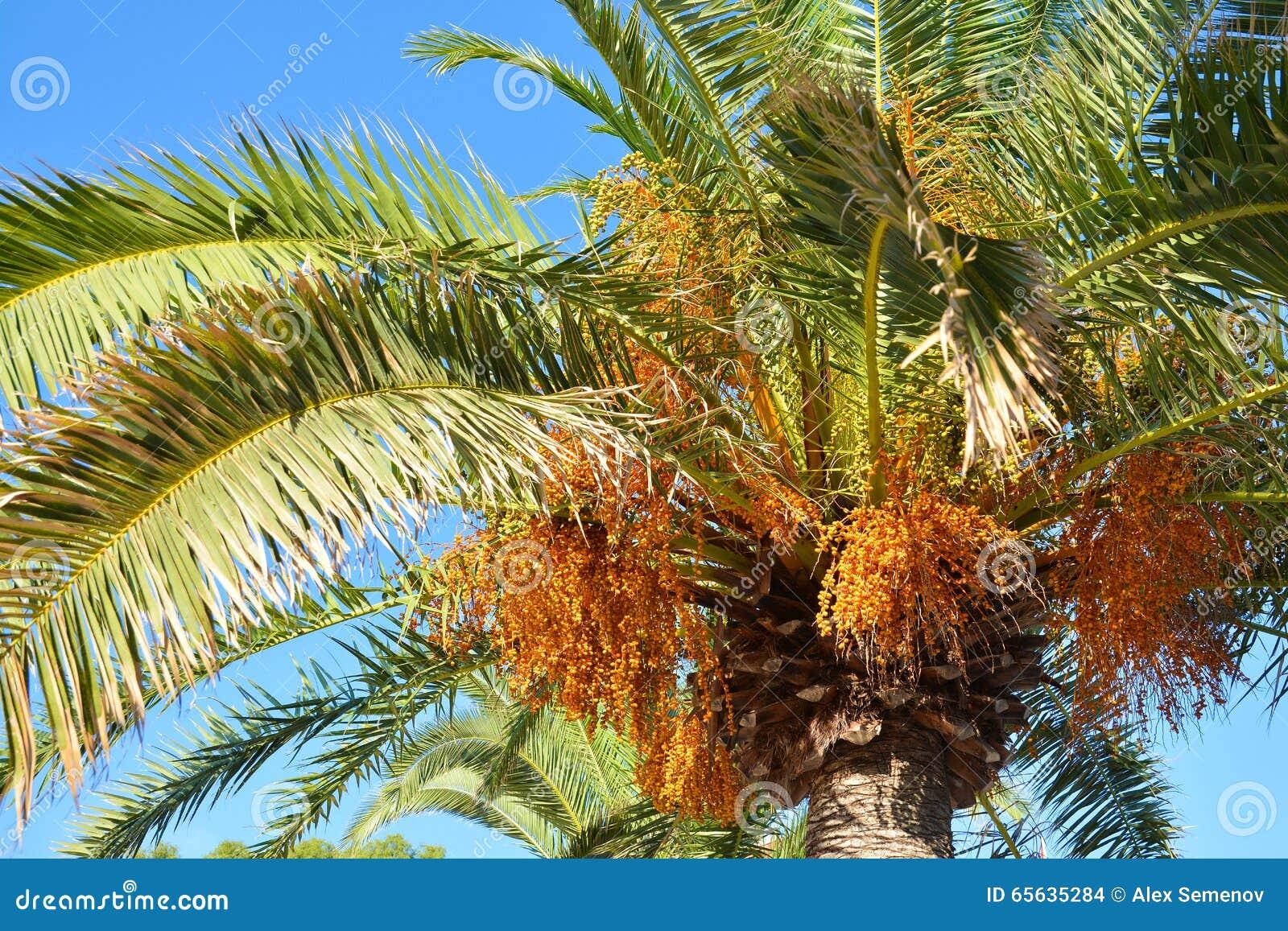 Les paumes de Crohn avec des fruits brillamment illuminés par le soleil