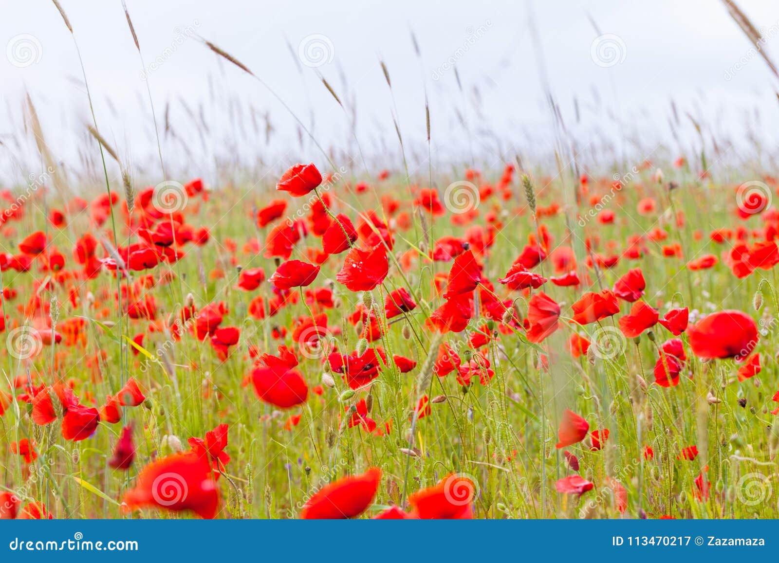 Les pavots rouges de fleurs fleurissent sur le champ sauvage vert mai avec le foyer sélectif et les effets doux de tache floue de