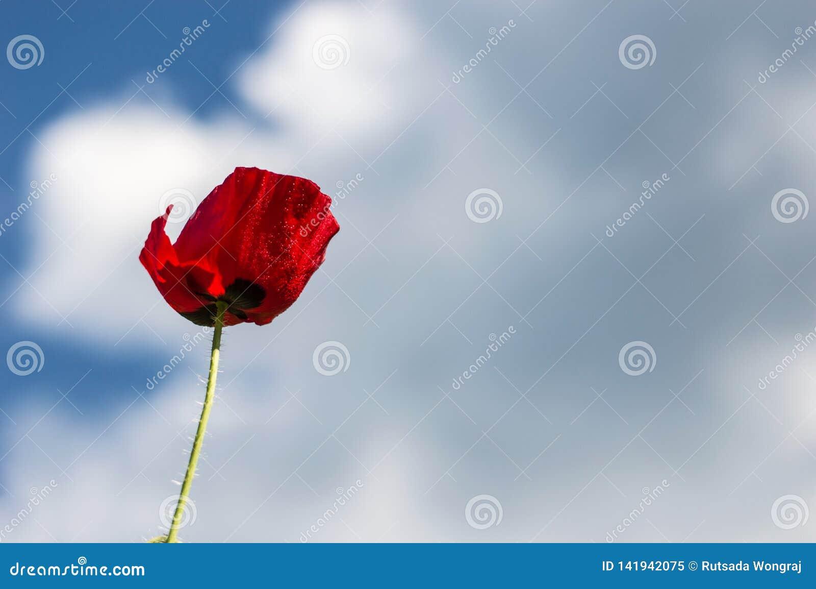 Les pavots rouges fleurissent ? l arri?re-plan de ciel bleu