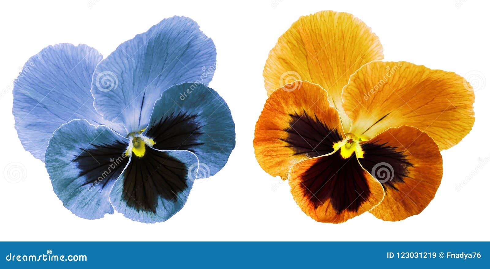 Les Pensees Bleues Et La Fleur Orange Sur Un Blanc Ont Isole Le Fond