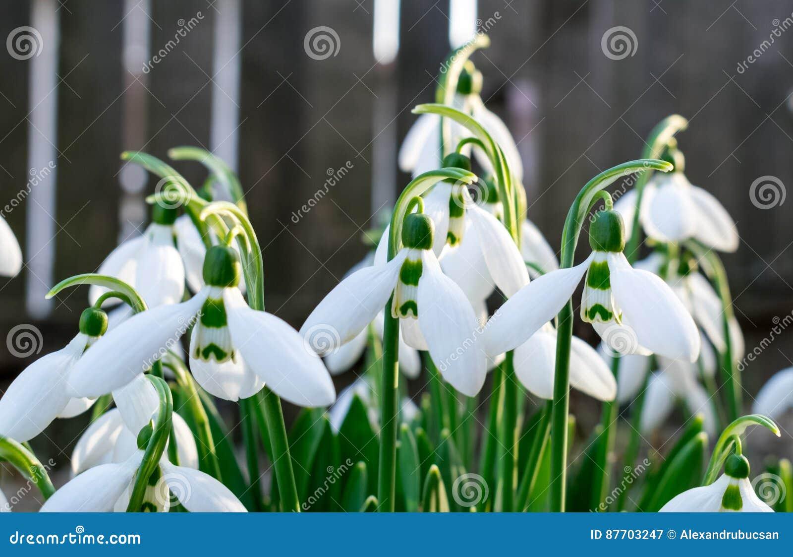 Les perce-neige chronomètrent tôt au printemps