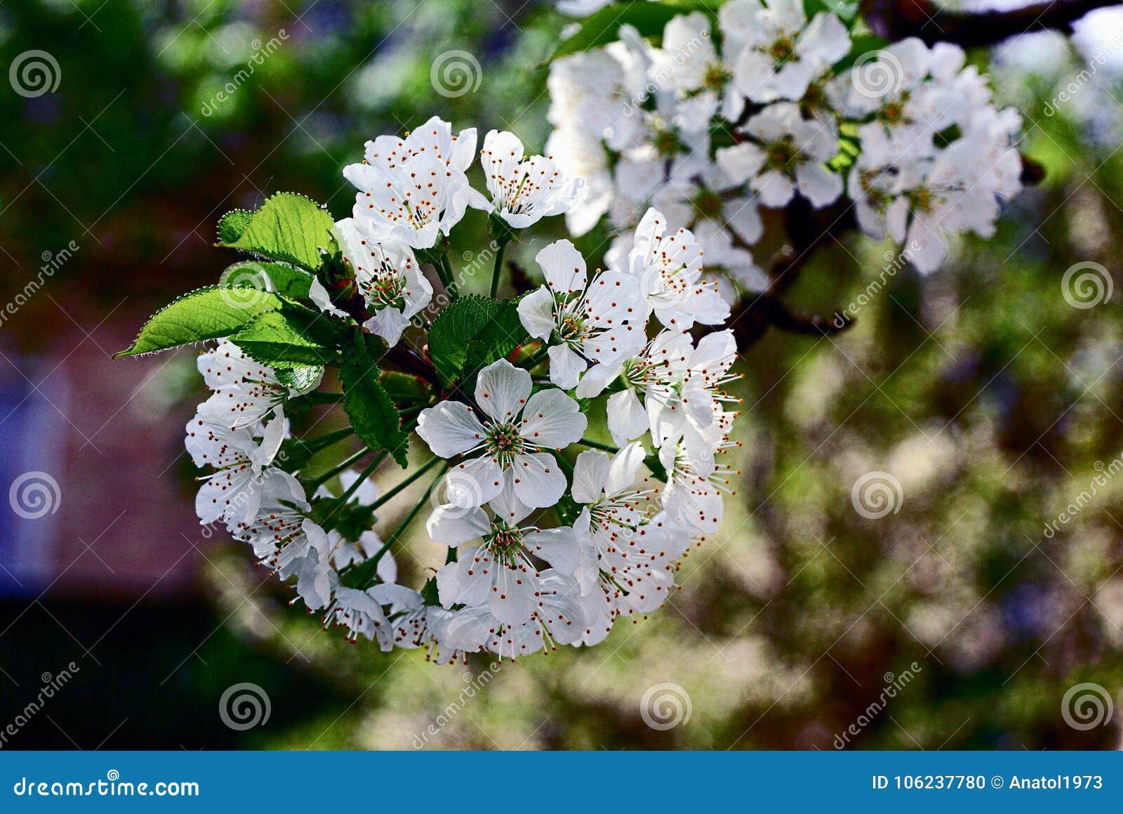 Les Petites Fleurs Blanches Sur Une Branche Avec Des Feuilles Sur Un