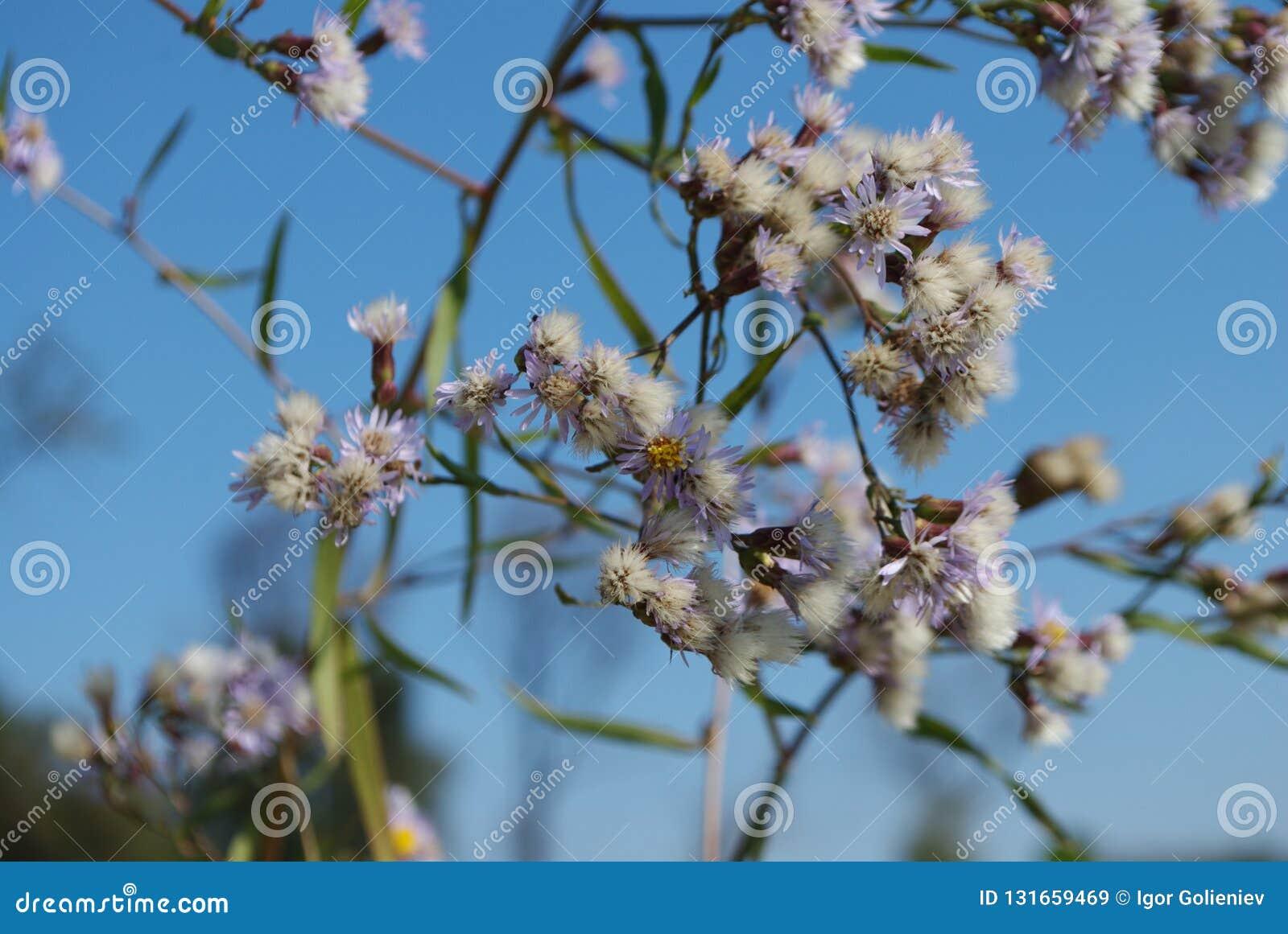 Les petites marguerites bleues se développent près de la rivière Fond d image de détail de fleur