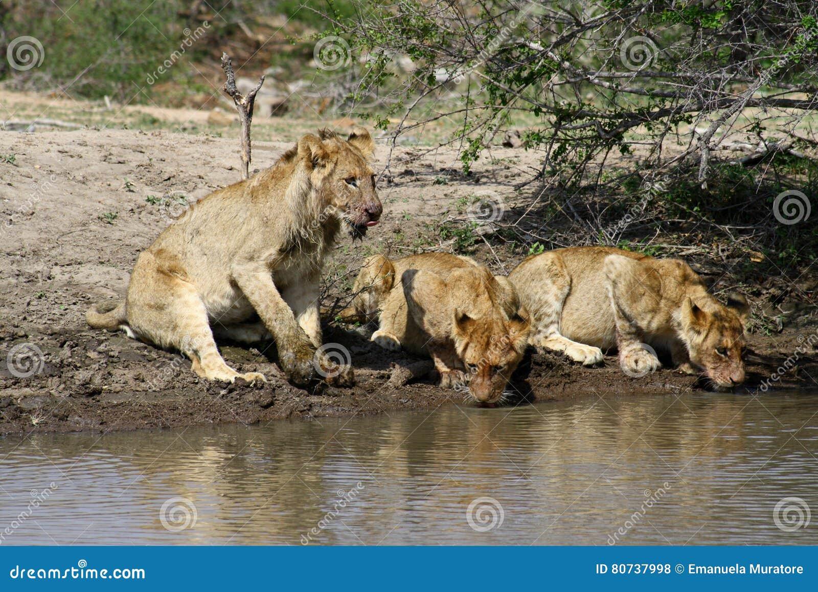 Les petits animaux de lion assoiff s s 39 approchent de l 39 eau dans l 39 afrique du sud de la - Felin de la savane ...