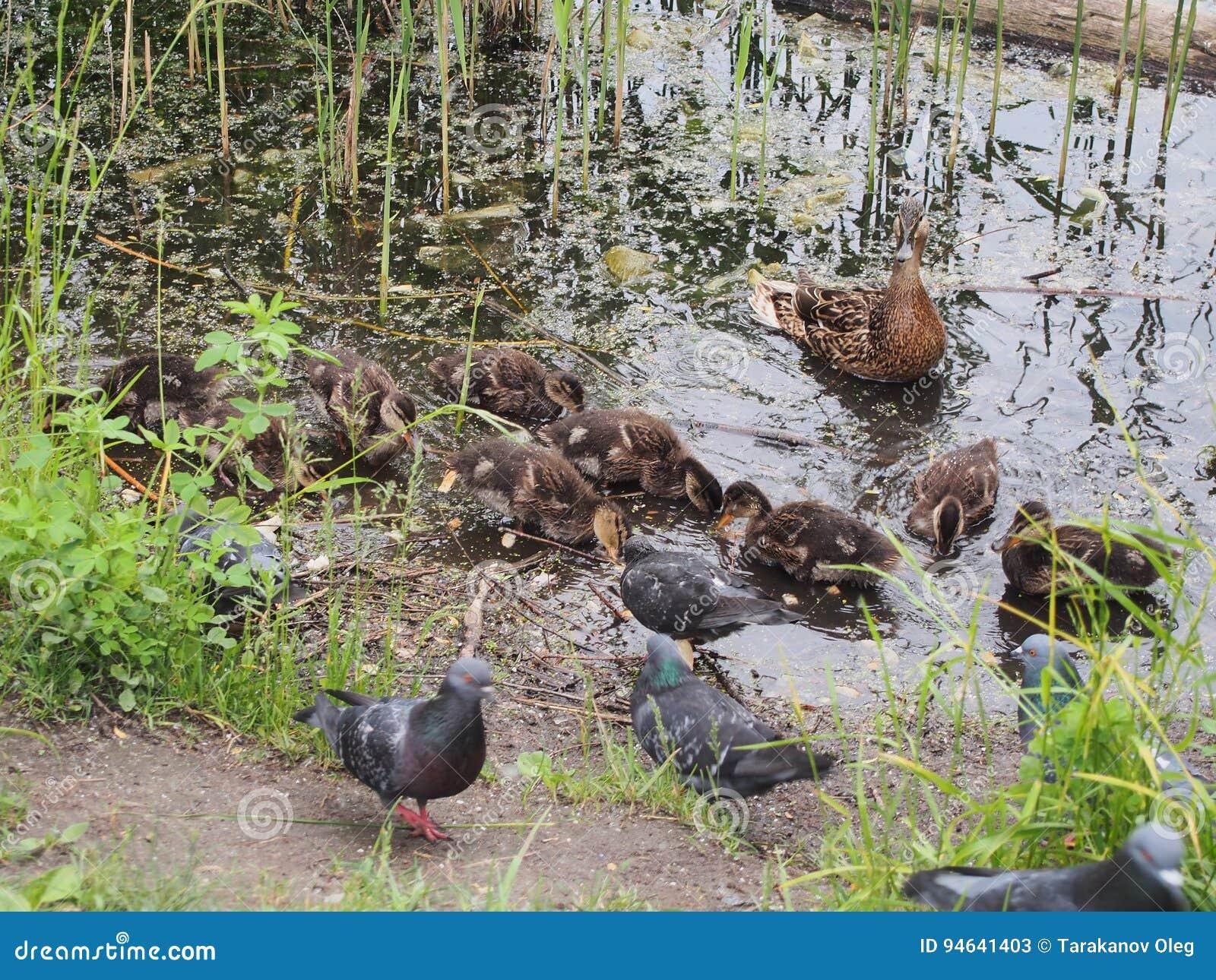 Les pigeons et une couvée des canards sauvages picotent le pain Observation de canard