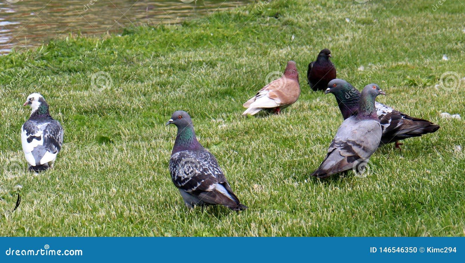 Les pigeons ont recueilli en parc sur l herbe verte devant un étang
