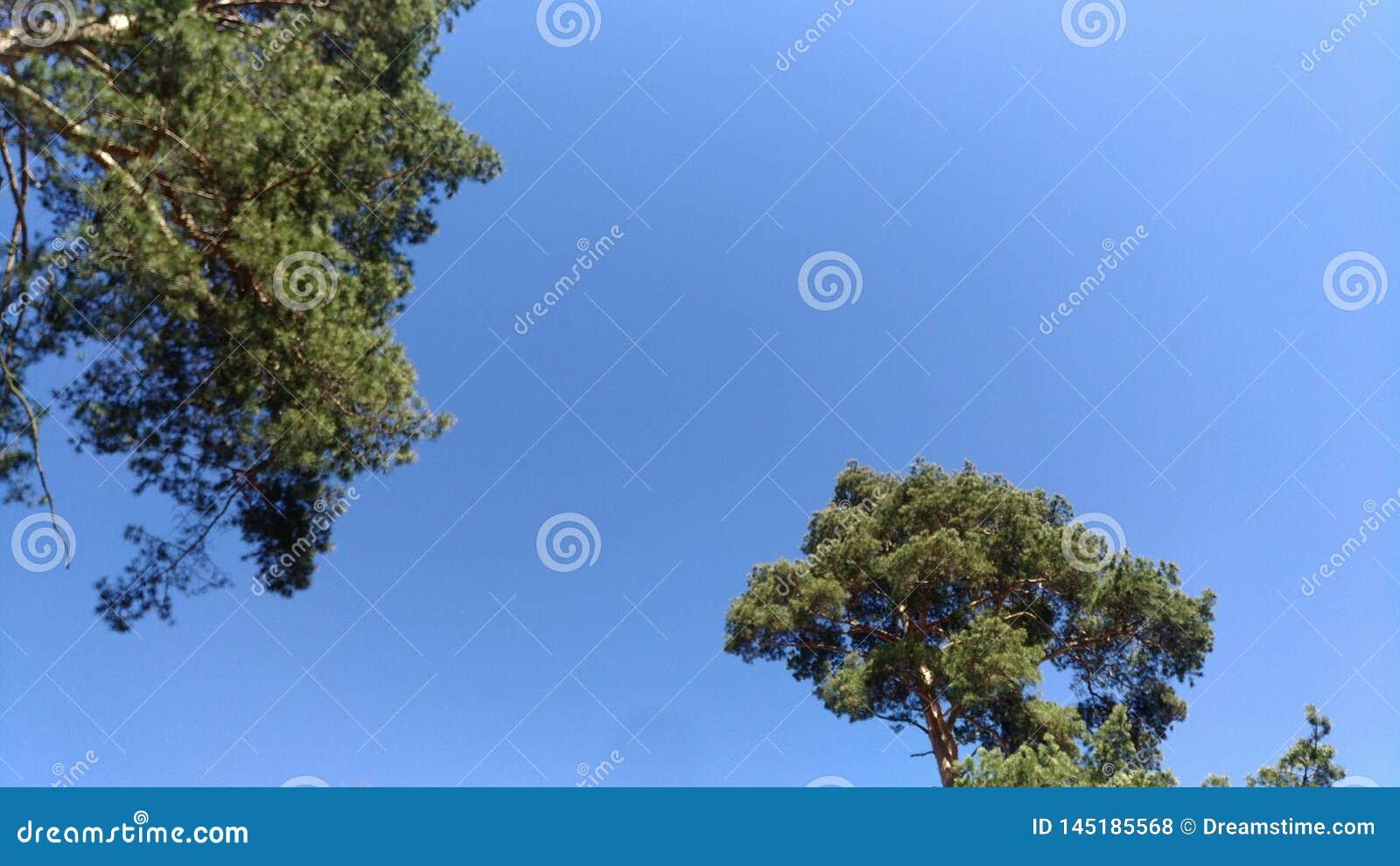 Les pins tendent au ciel, abstraction de fond, carte postale