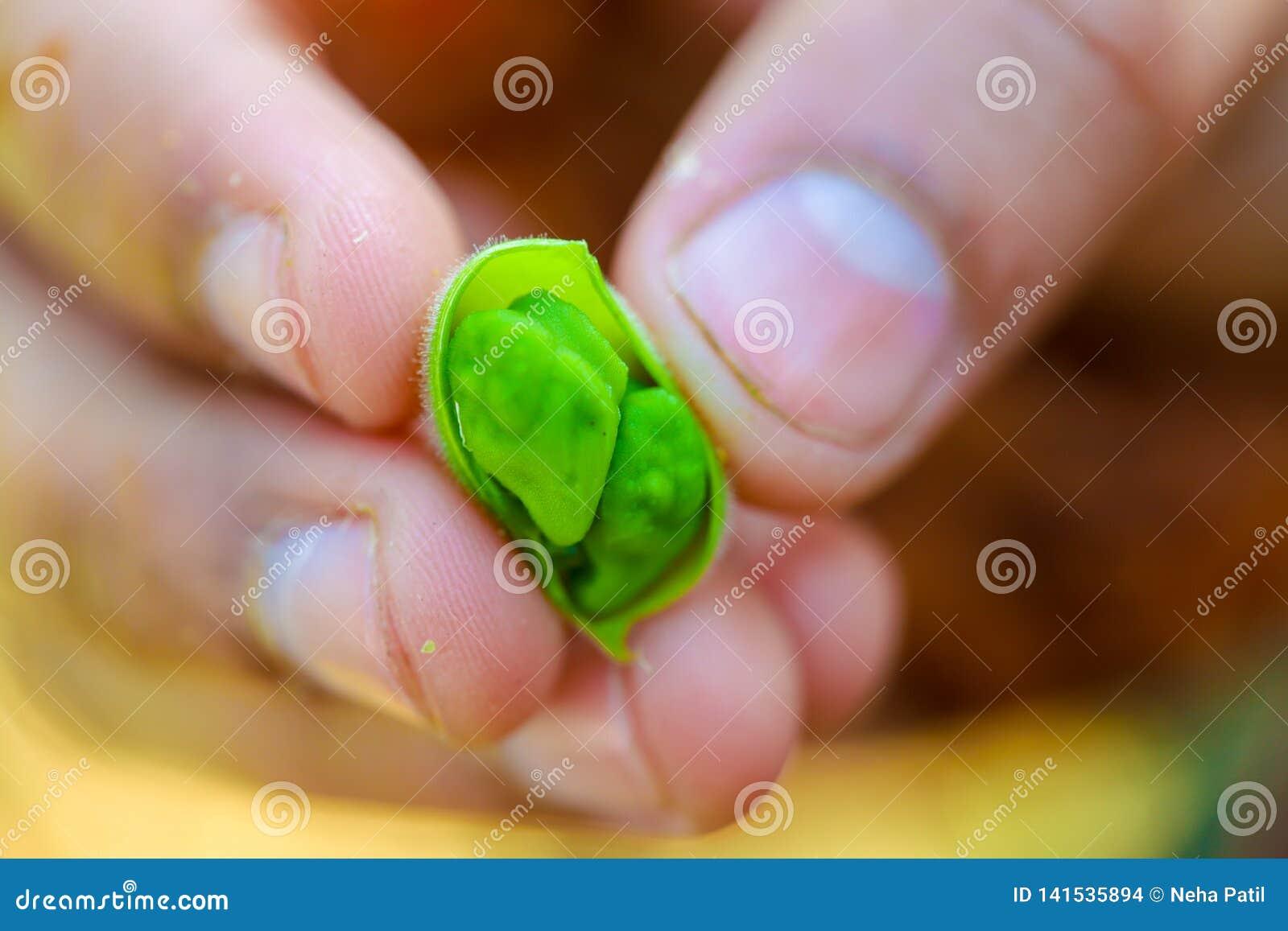 Les pois chiches verts frais mettent en place, les pois chiches également connus sous le nom de harbara ou le harbhara dans le hi