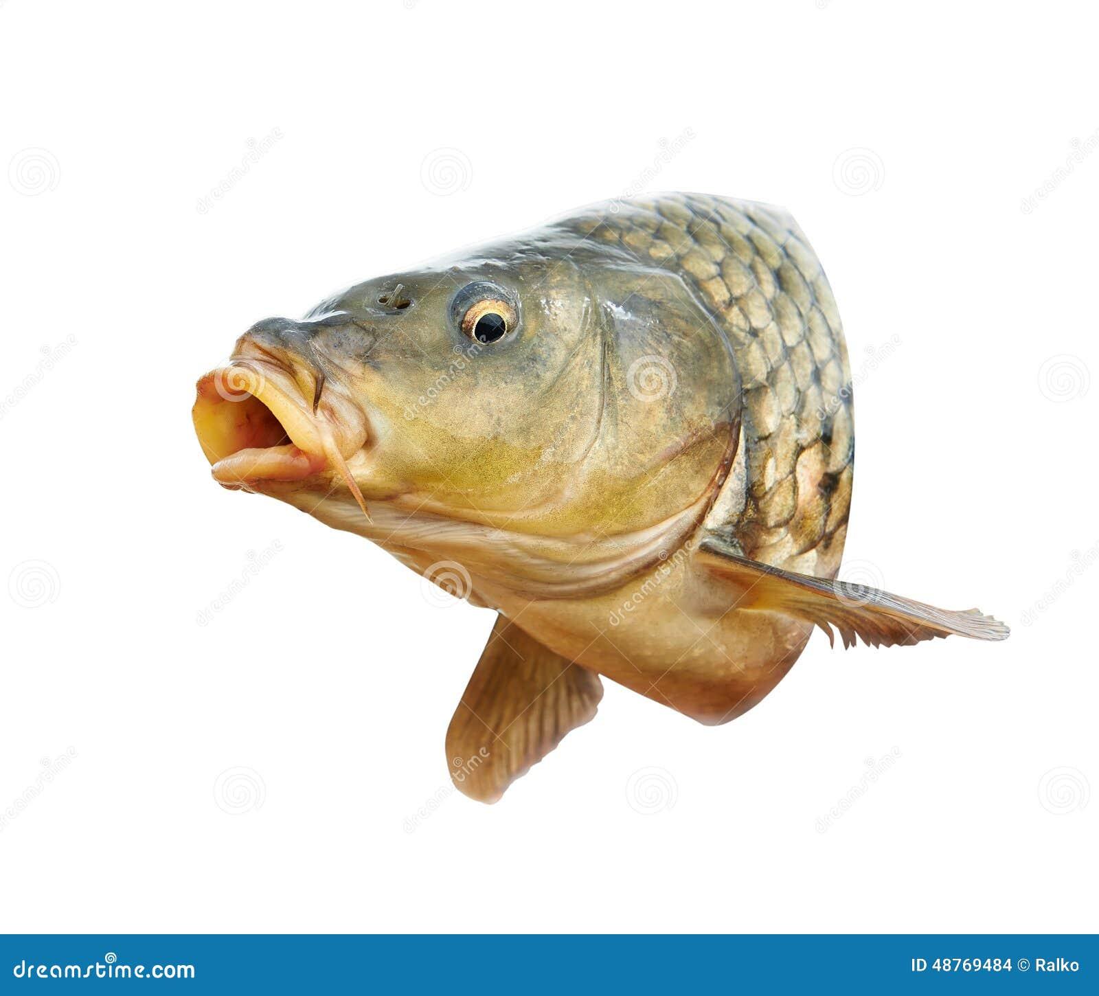 Les poissons de carpe avec la bouche s 39 ouvrent photo stock for Poisson carpe