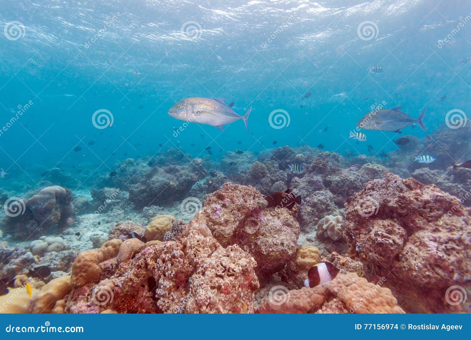 Les poissons de Trevally s approchent du fond des océans