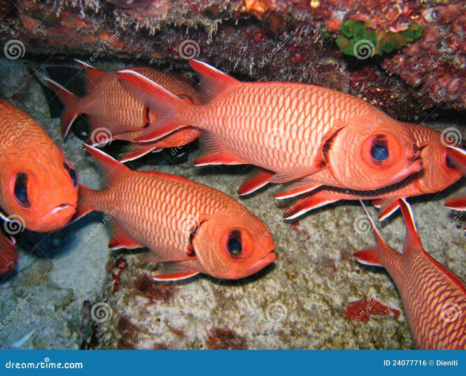 Les poissons rouges grouillent/écoles, soldierfish d écarlate