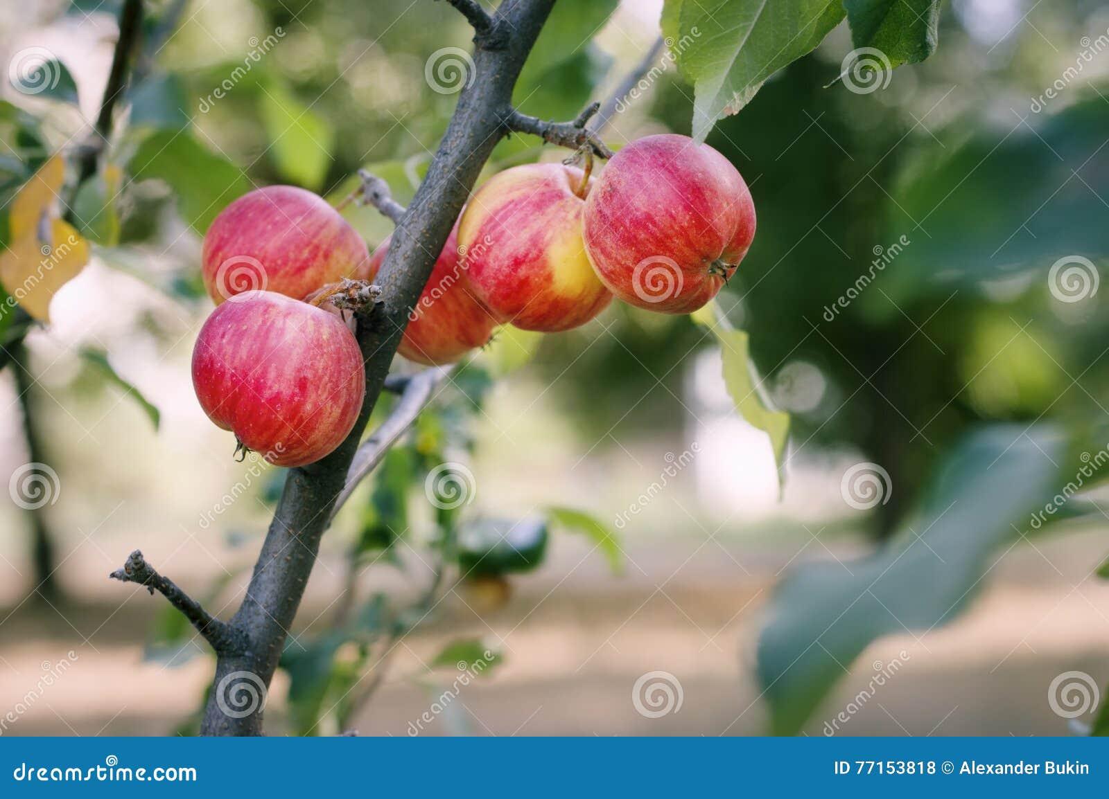 Les pommes mûres se développent dans le jardin