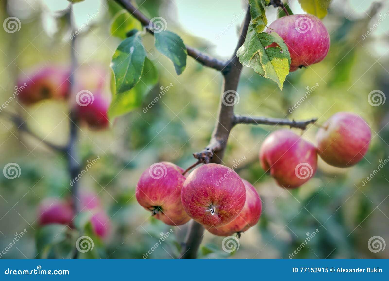Les pommes se développent dans le jardin