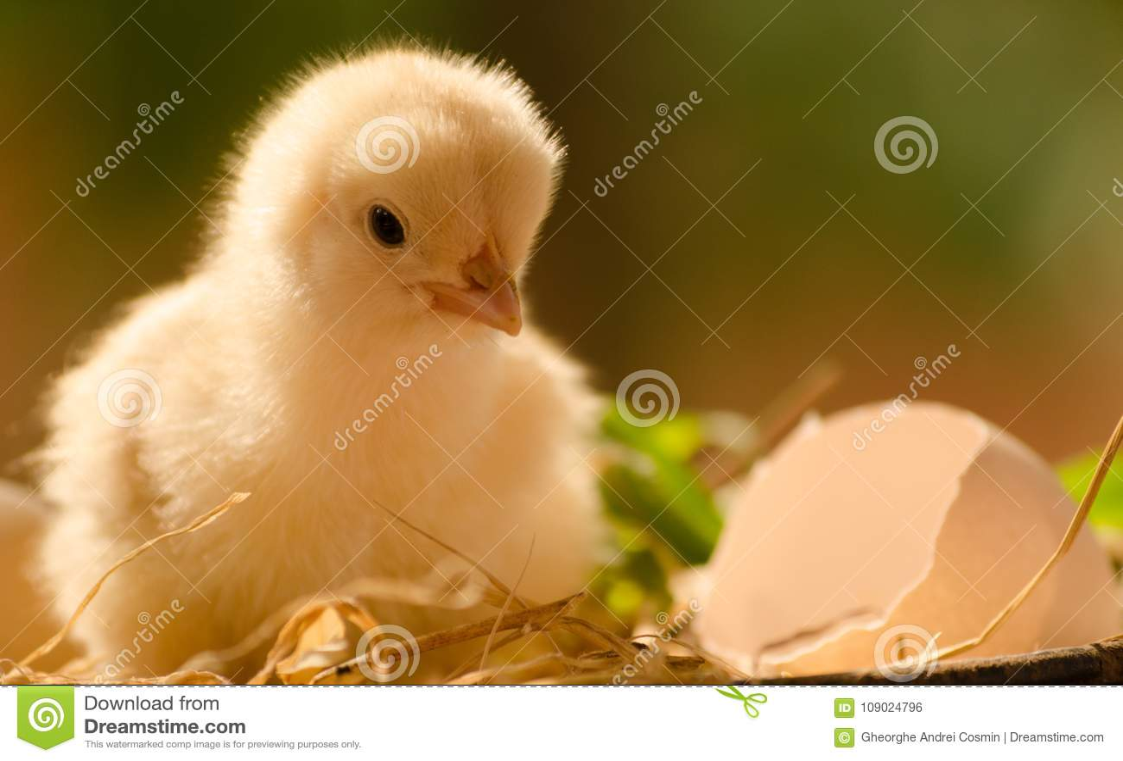 Les poulets sont juste sortis de l oeuf