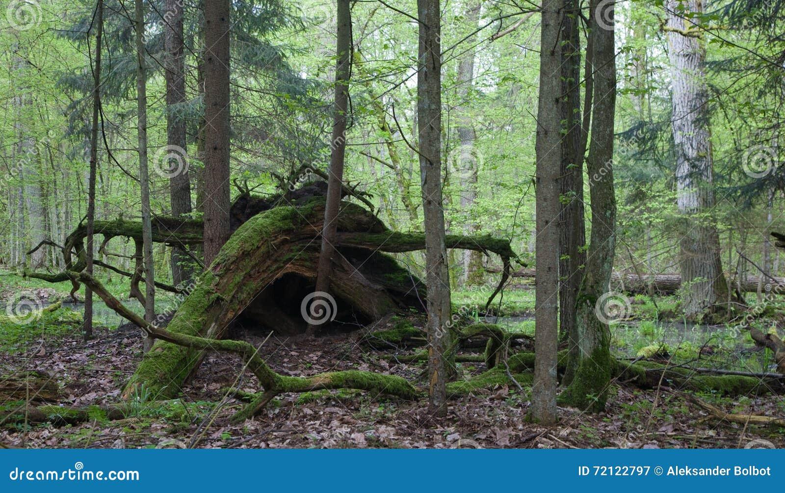 Les racines cassées d arbre ont en partie diminué sur le fond de forêt