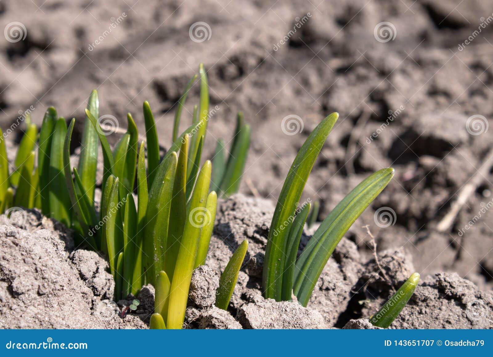 Les racines des fleurs germent avec zamly Les fleurs se développent au printemps