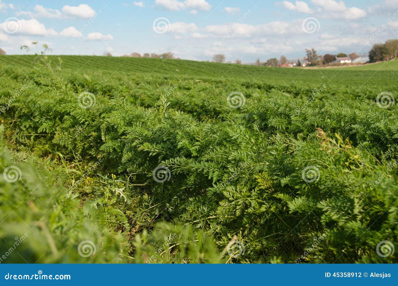 Les rangées de la carotte grandissante et du ciel