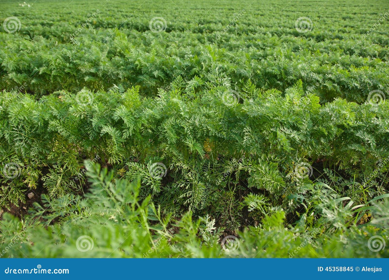 Les rangées horizontales de la carotte