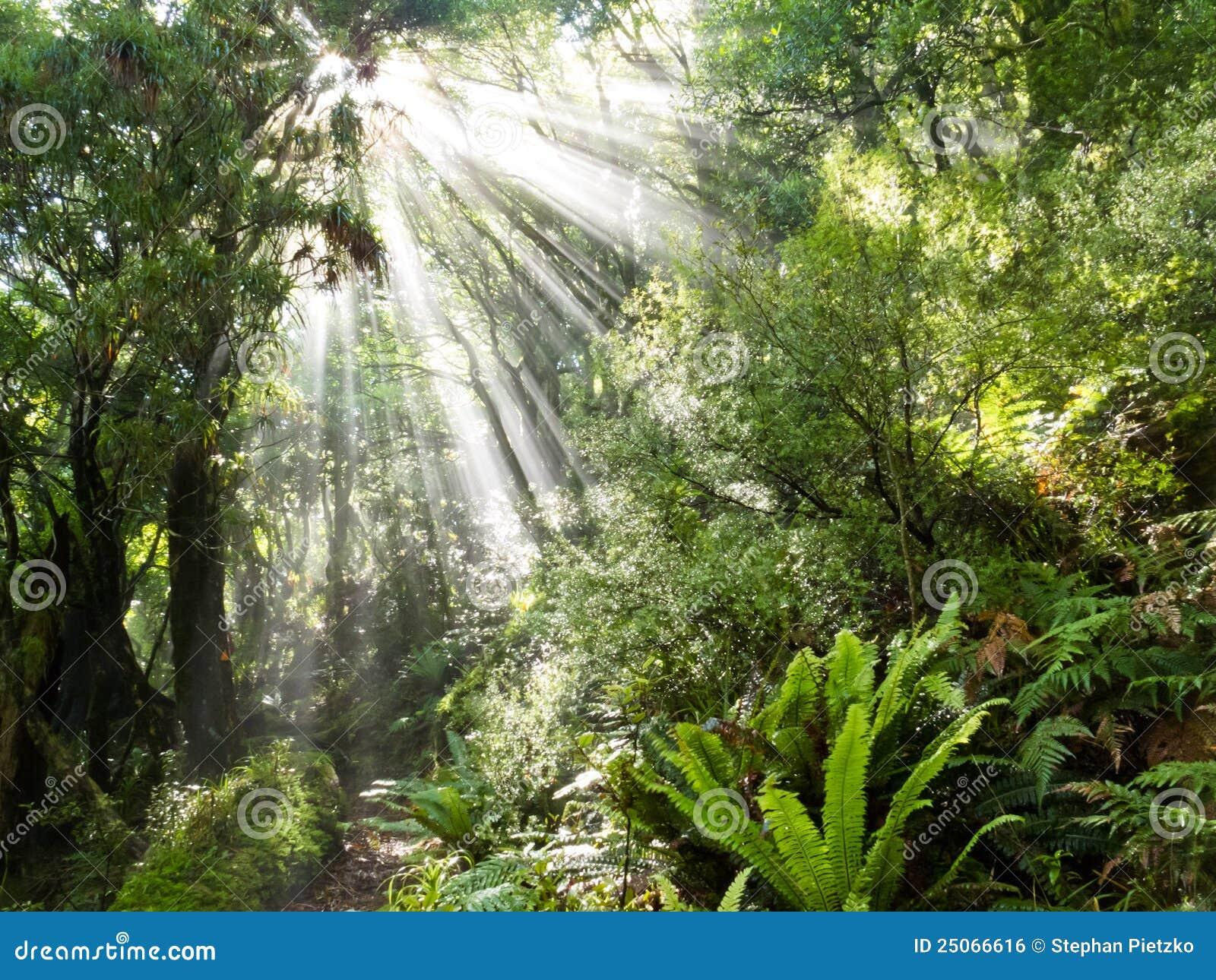 Les rayons de la lumière du soleil rayonnent la jungle tropicale dense de cuvette