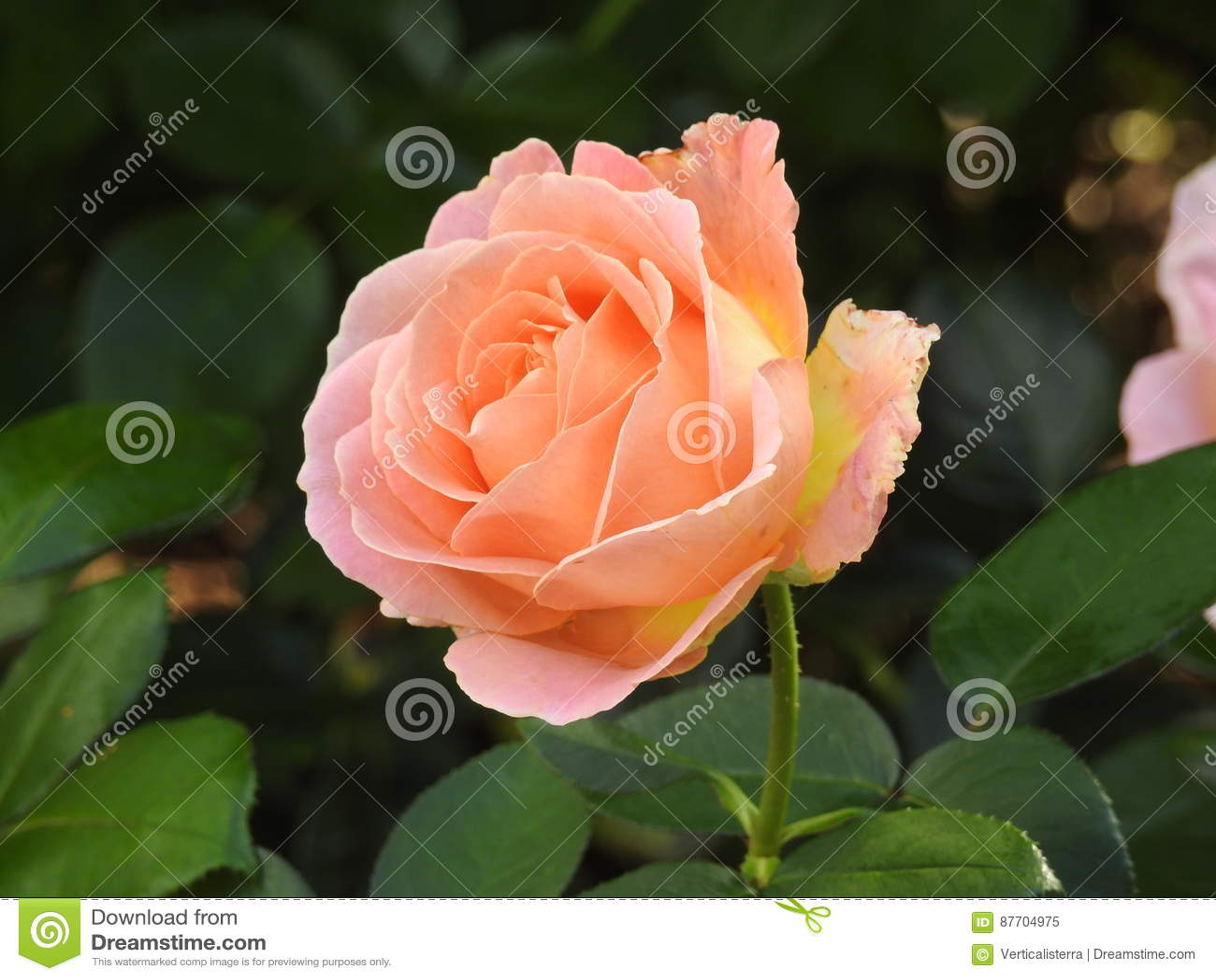 Les roses en dépit de leurs épines sont des fleurs sensibles qui embaument l environnement
