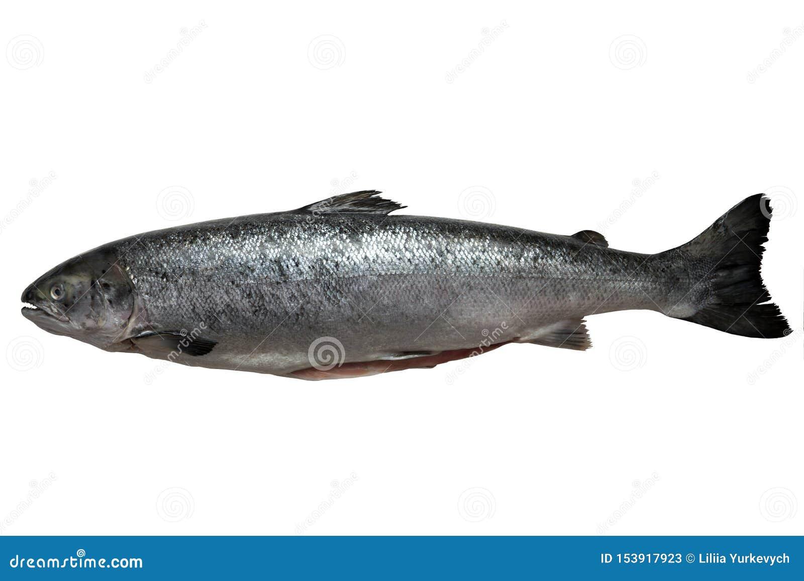 Les saumons frais ont isolé sur un fond blanc de studio