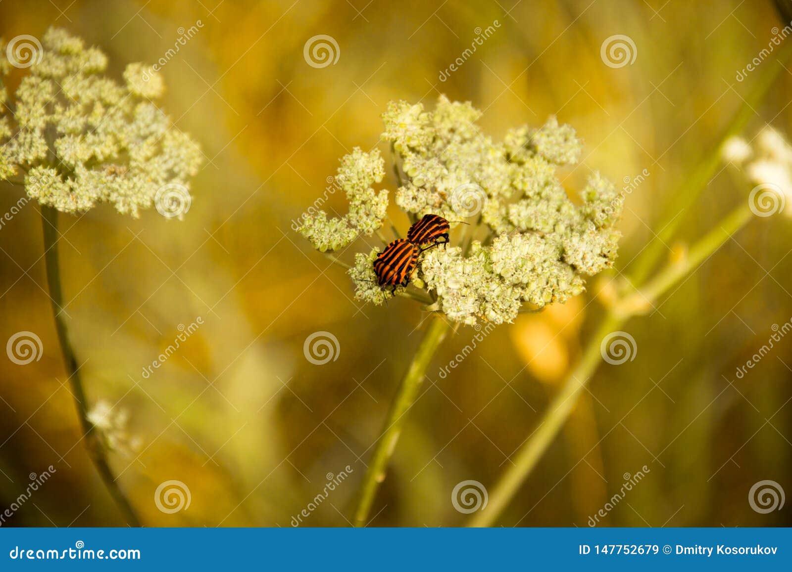 Les scarabées de ressort joignent sur une fleur blanche