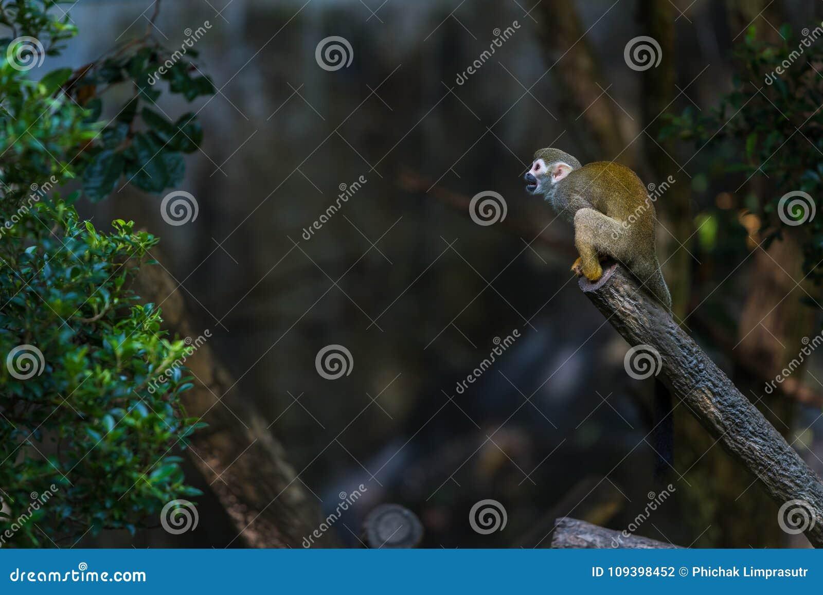 Les singes-écureuils sont des singes du nouveau monde du genre Saimiri