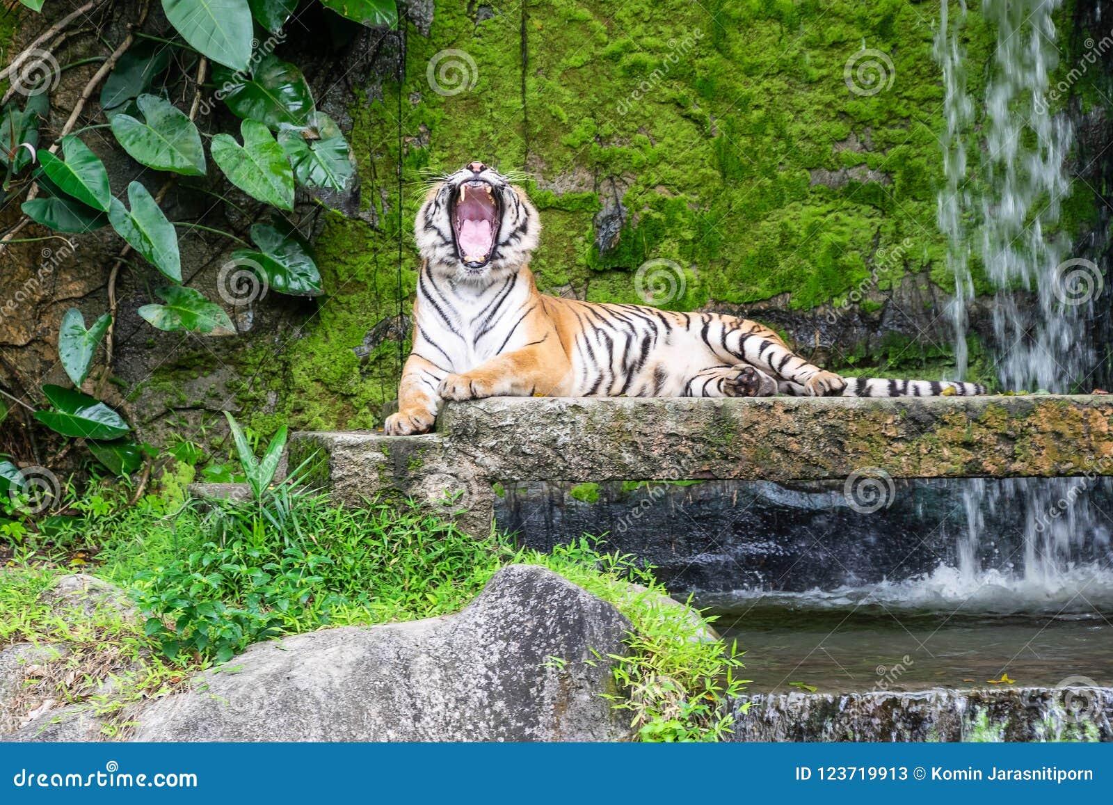 Les tigres sibériens hurlent