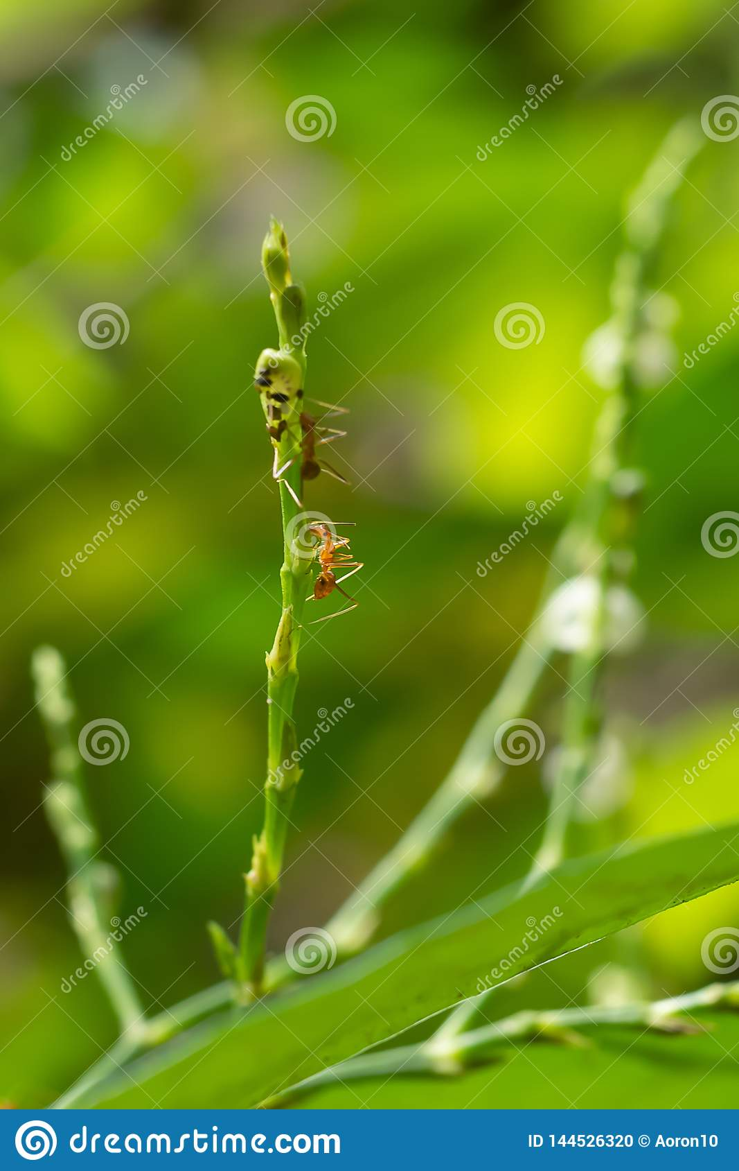 Les tirs en gros plan de petites fourmis rouges s élèvent sur le dessus de l arbre Sur le fond, nature verte, régénérant
