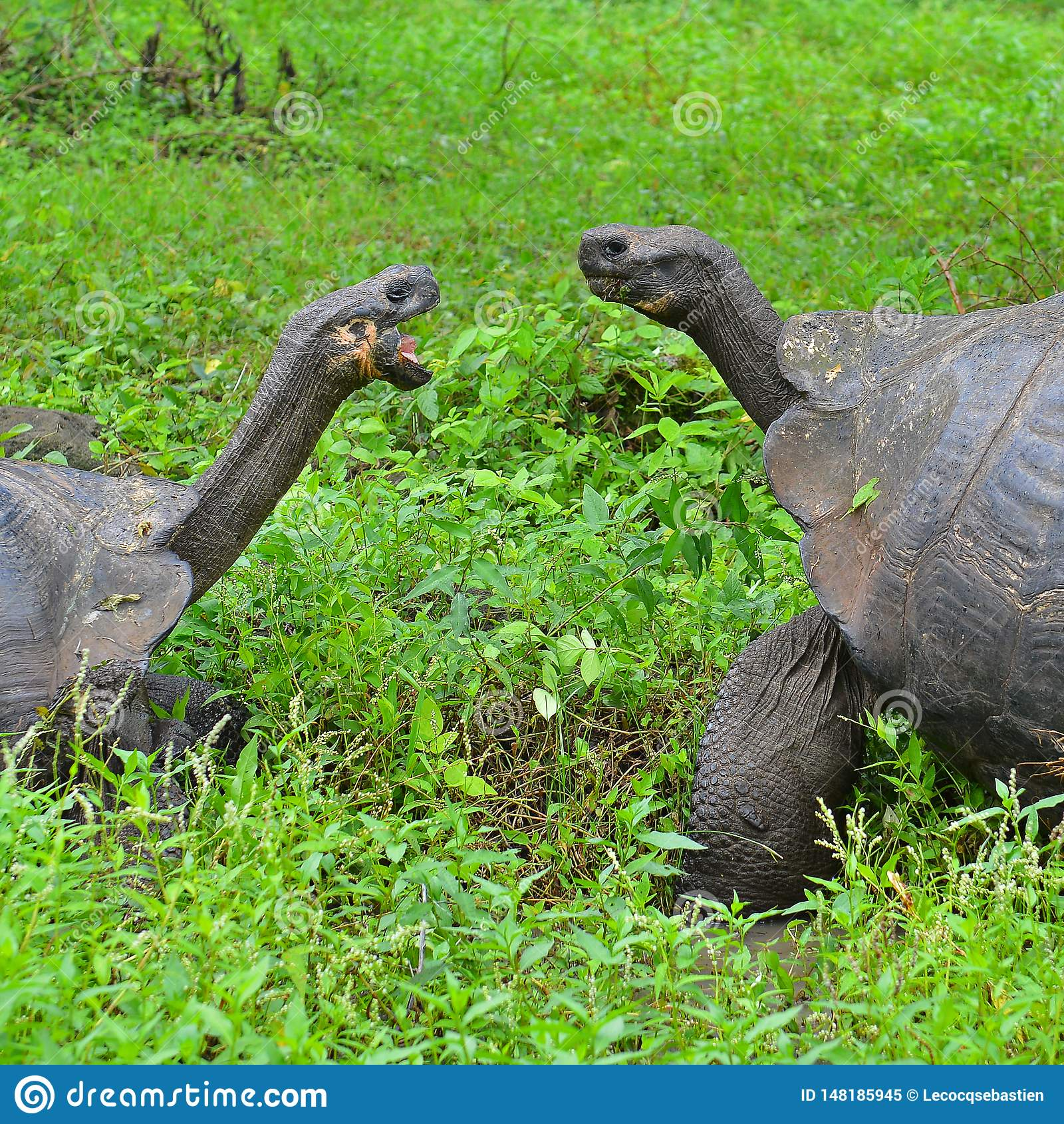 Les tortues géantes de Galapagos se ferment, des îles de Galapagos