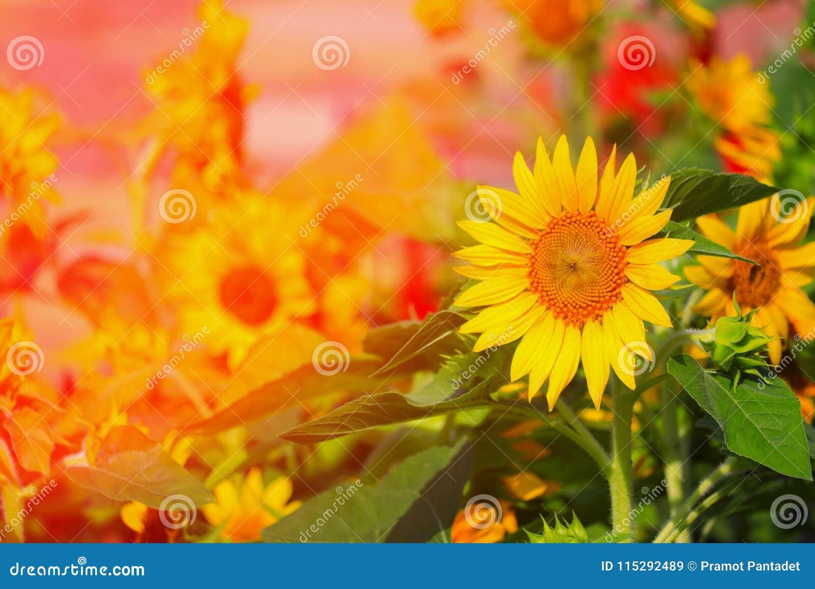 Les Tournesols Jaunissent La Floraison En Fleur De Jardin ...
