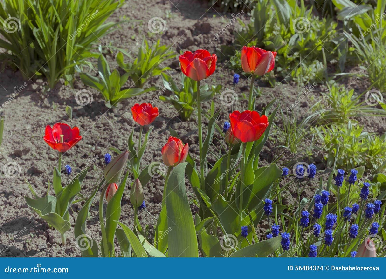 Les tulipes de printemps rouge ont fleuri