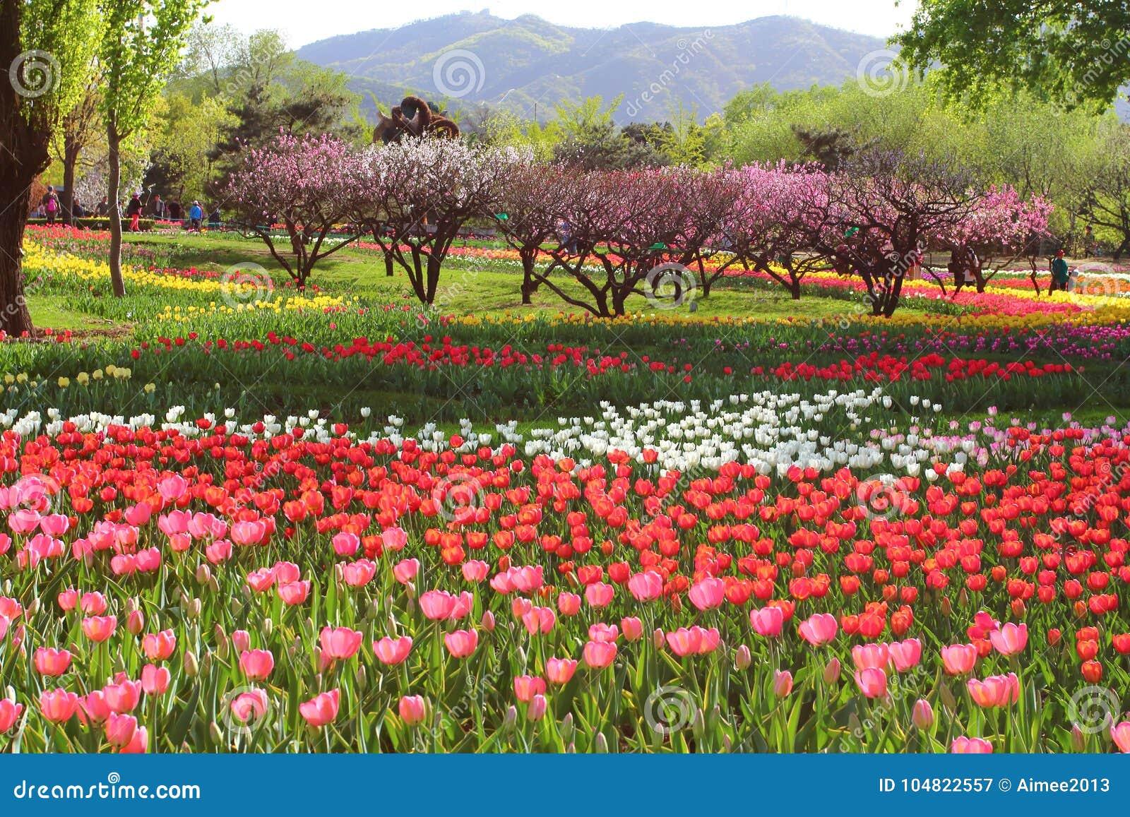 Les tulipes et la pêche fleurit au printemps