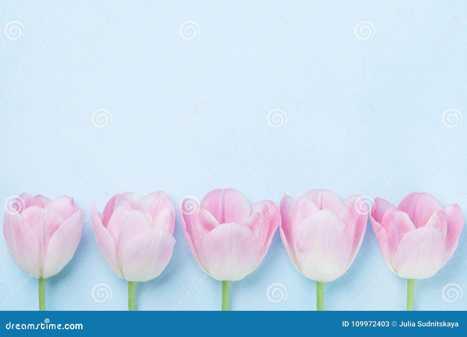 Les tulipes roses fleurissent sur la vue supérieure de fond bleu Couleurs en pastel de mode style plat de configuration Carte de
