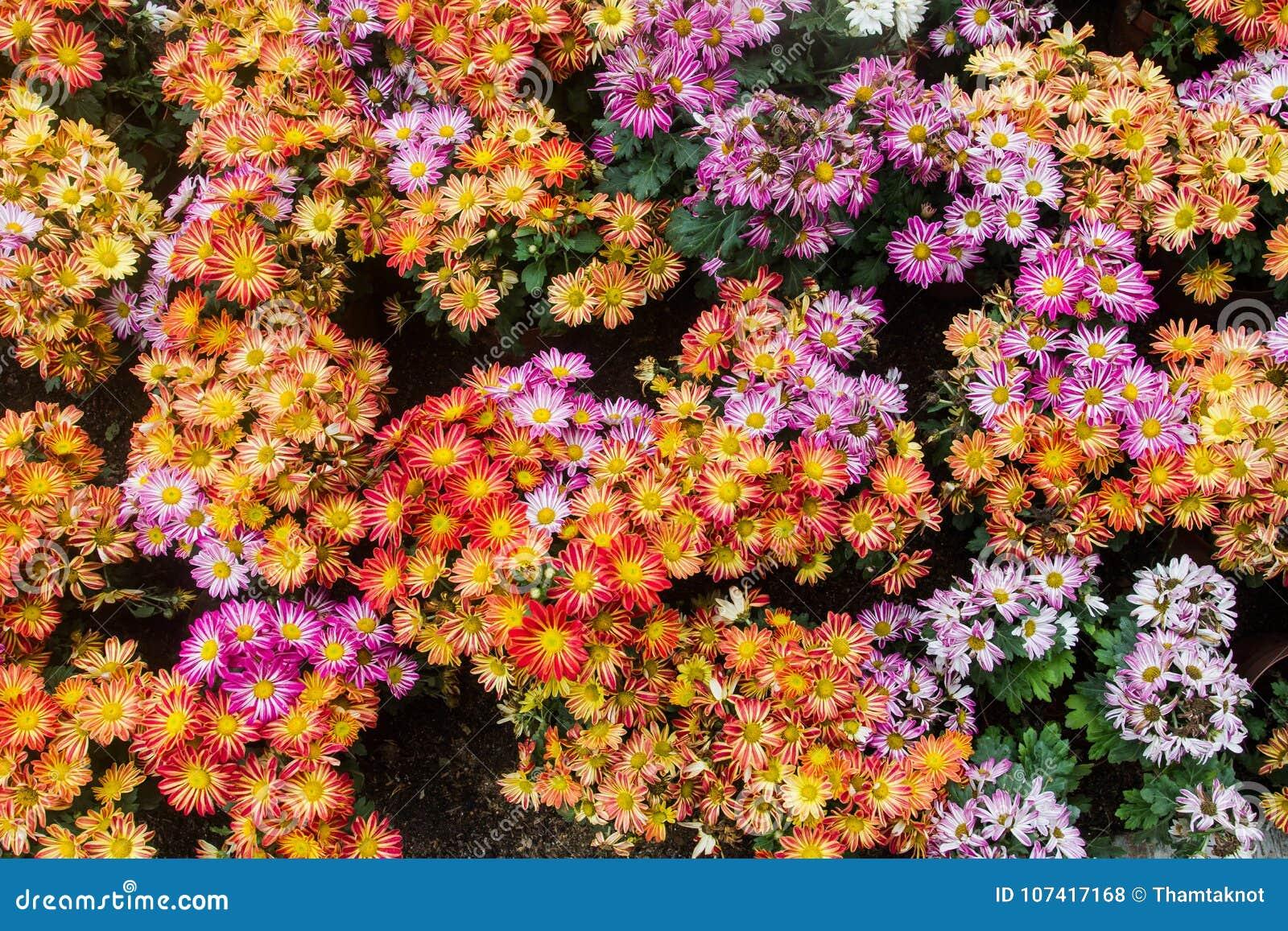 Les usines bisannuelles de chrysanthème sont de haute tige environ 1-3 pieds Et soyez les branches cassées n est pas beaucoup Dan