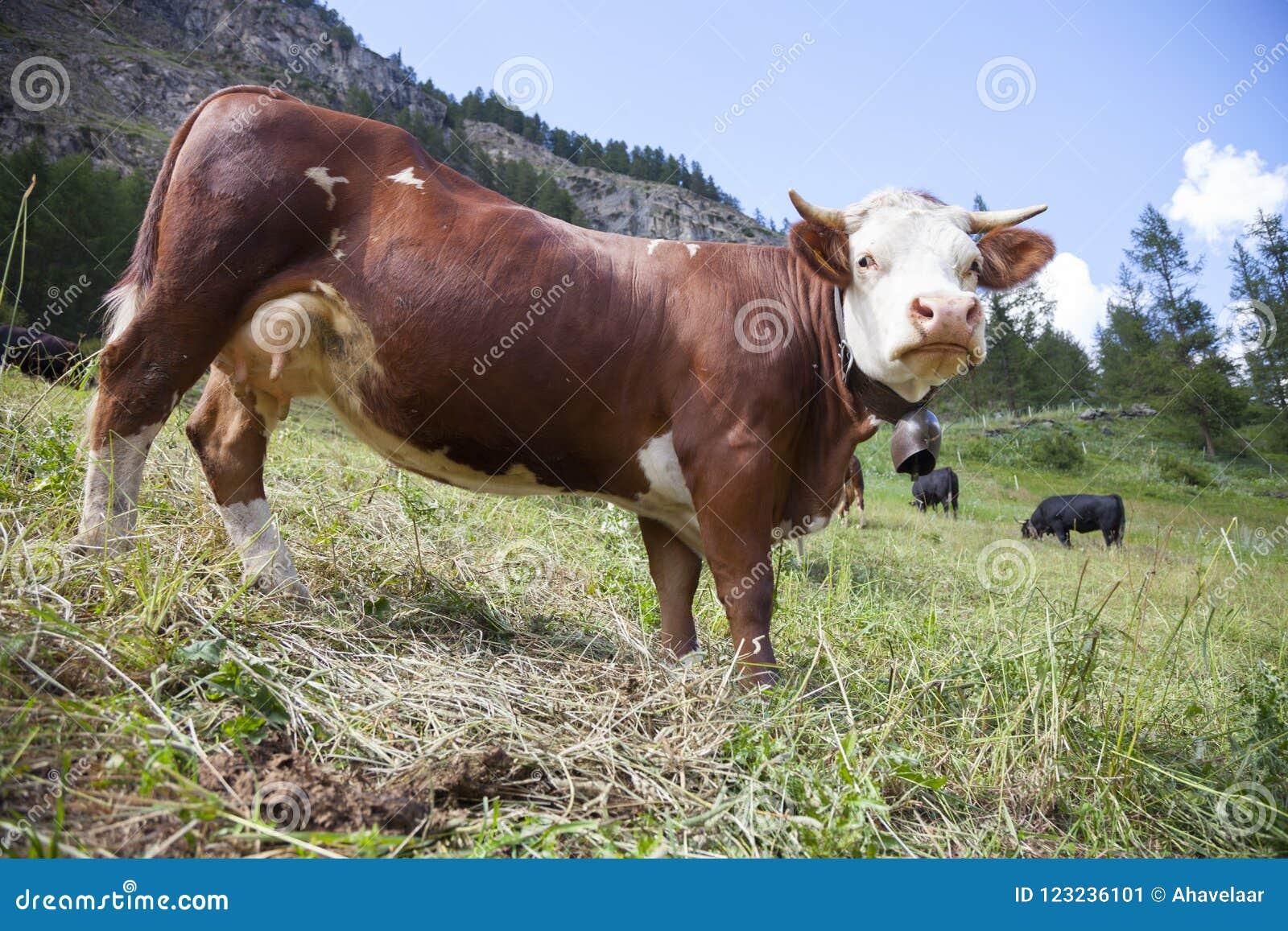 Les vaches à Brown frôlent dans le pré italien de montagne du paradiso de mamie de parc national